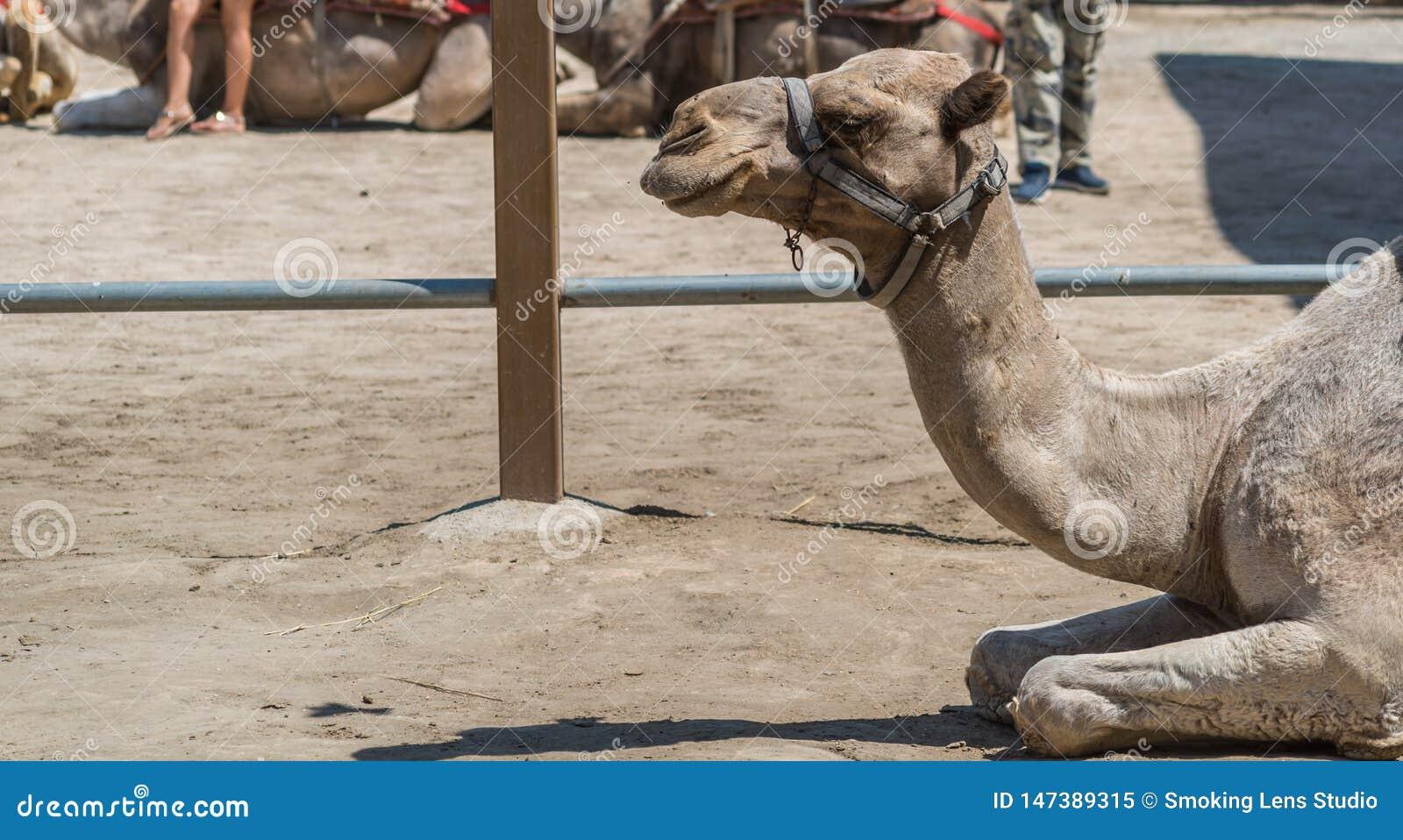 Kamelst?endecloseup