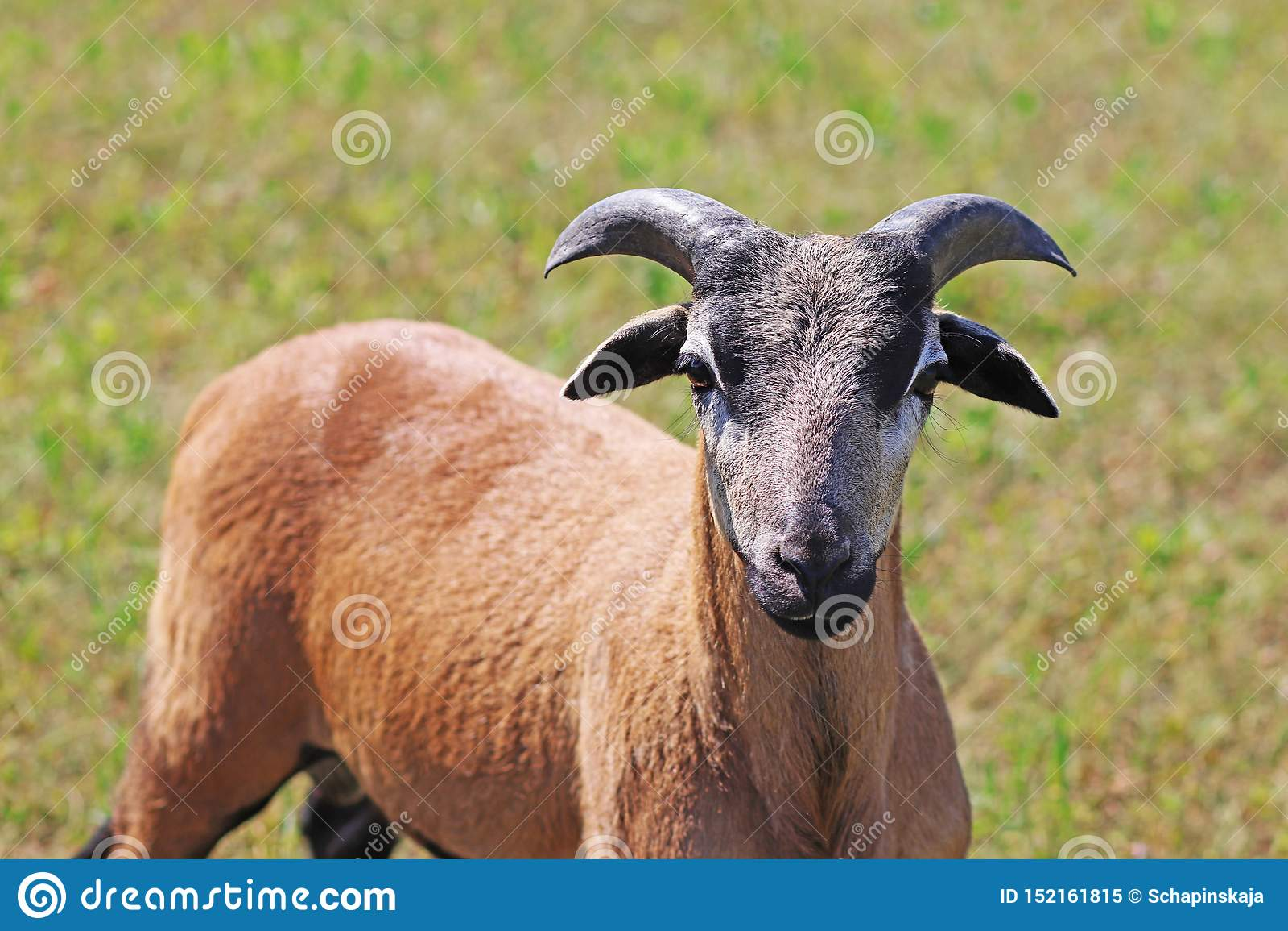 Kamerunfår, ungt RAM, på betar