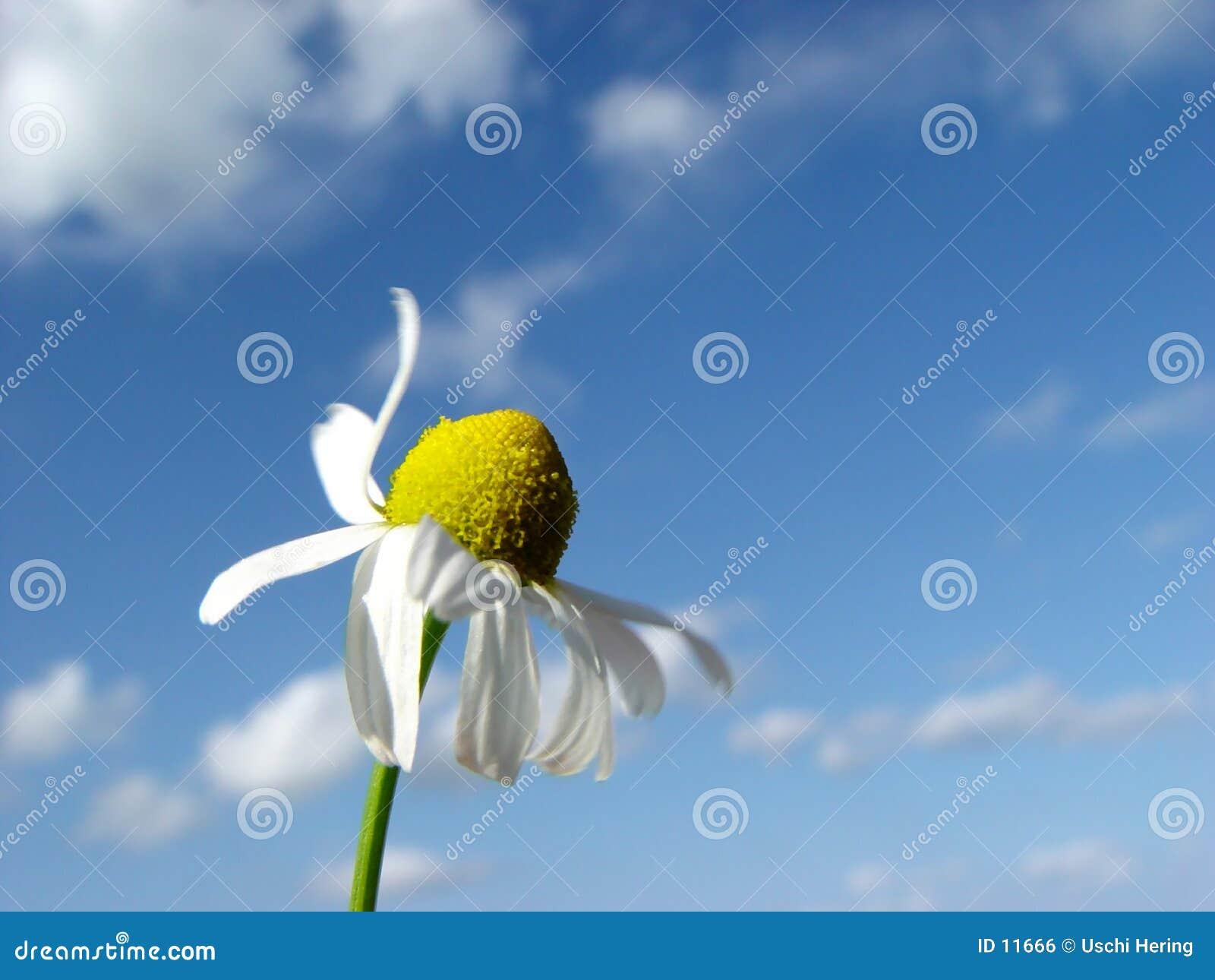 Kamille in de wind