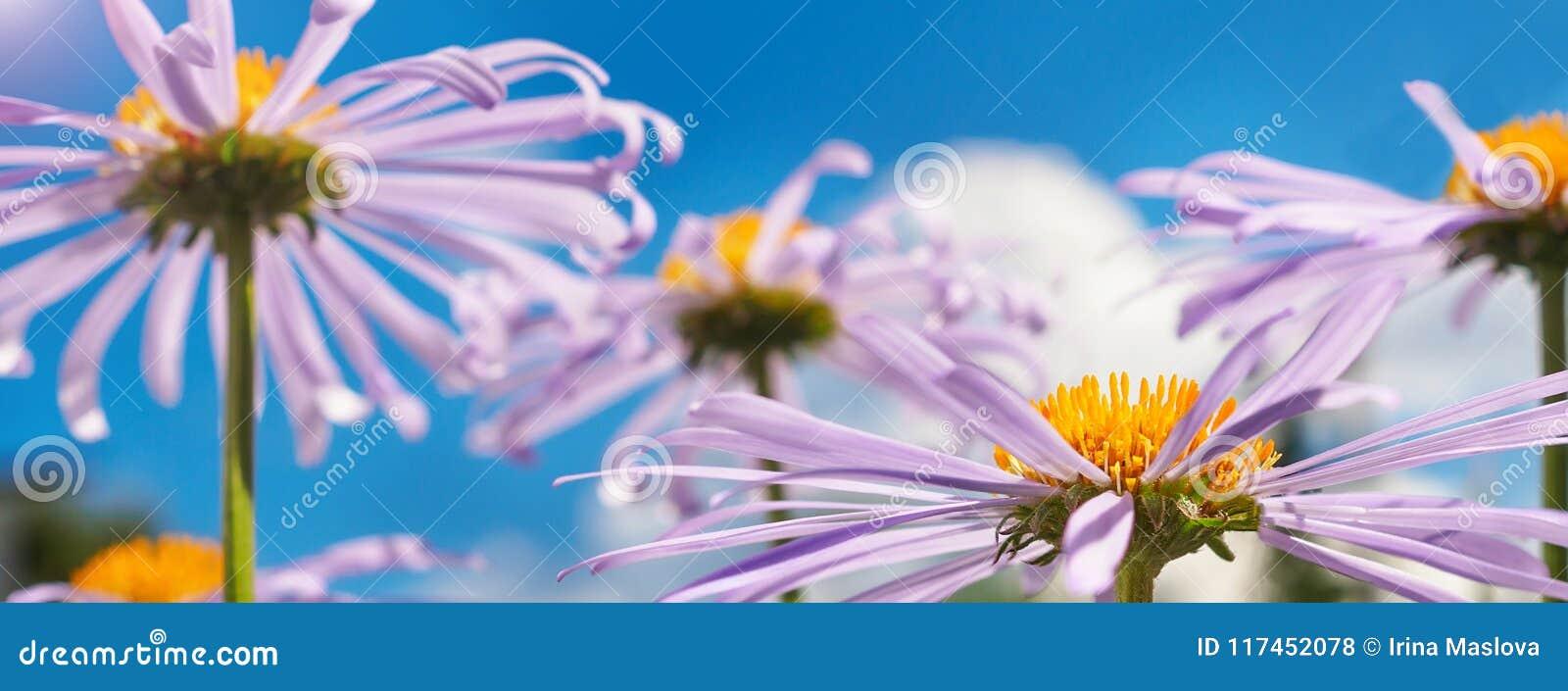 Kamille onder blauwe hemel macro natuurlijke achtergrond