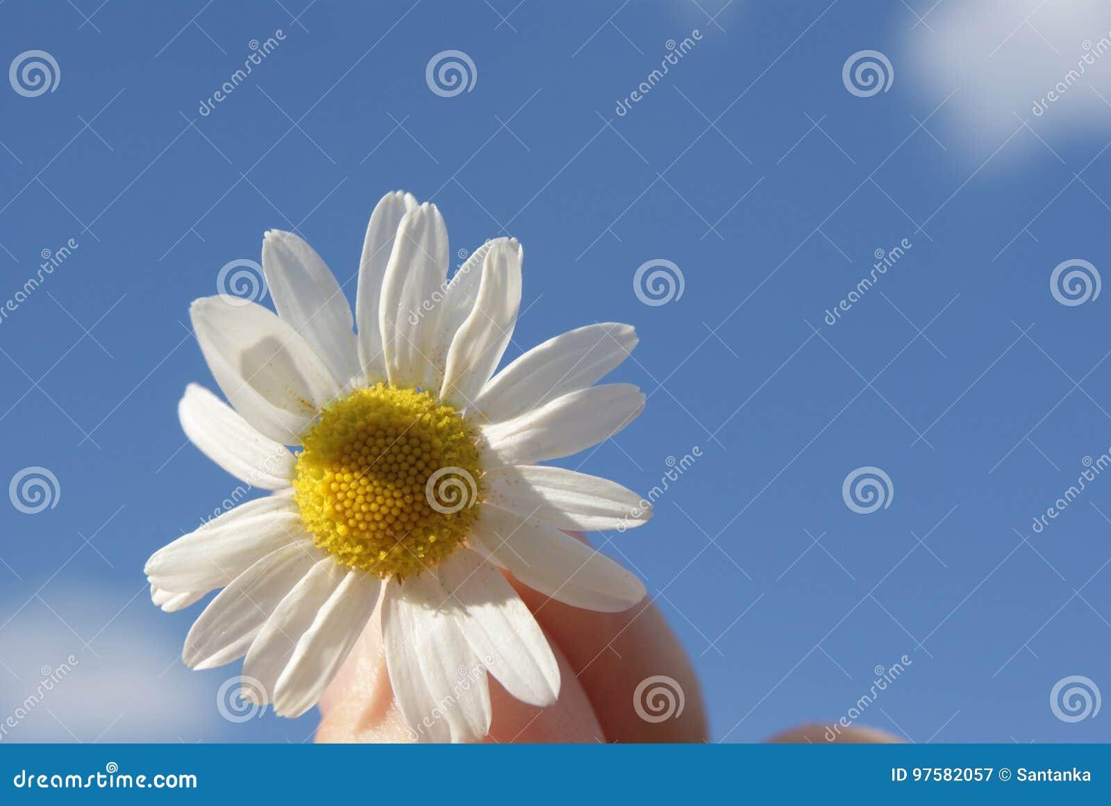 Kamille tegen de hemel Een mooie scène van aard met het bloeien medische gemzen Alternatieve geneeskunde Kamille