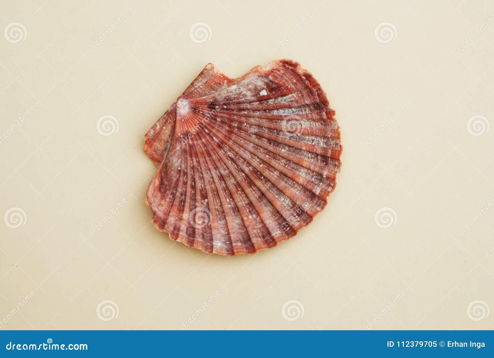 Kammussla Shell på neutral elfenbenbakgrund closen colors slappt övre siktsvatten för liljan Sommar och Holliday Concept