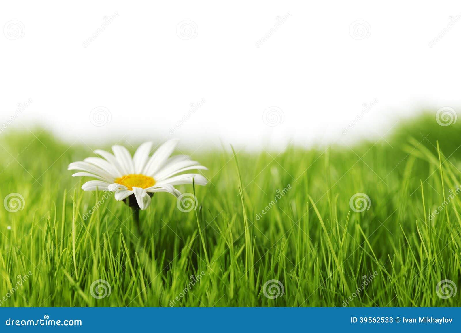 Kamomill i gräs