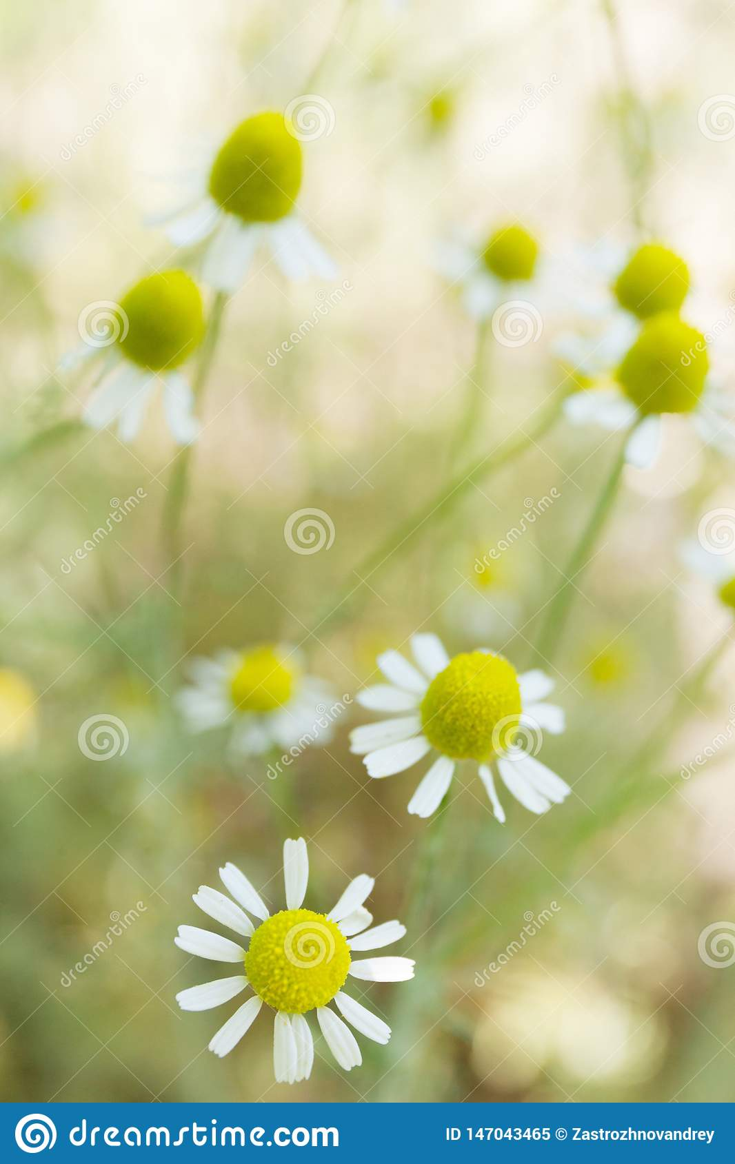 Kamomillblommalandskap, gr?n blomningbakgrund Kopieringsutrymme för text som är vertikalt