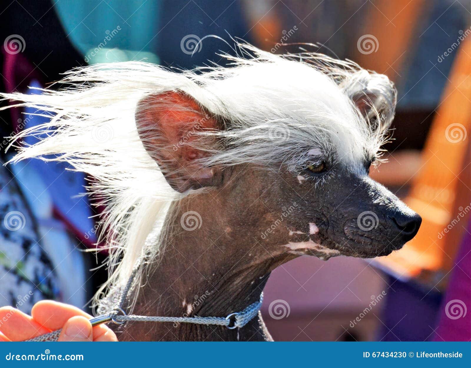Kampioens Chinese toont Kuif het hond witte haar in wind klaar om te gaan in ring toont