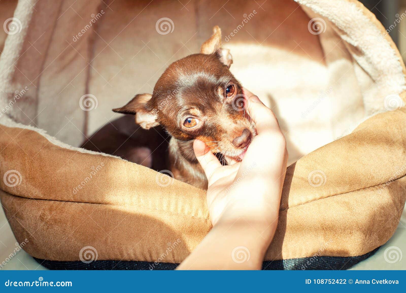 Kamratskap som litar på, fromhet Liten leksak-Terrier hund som slickar y
