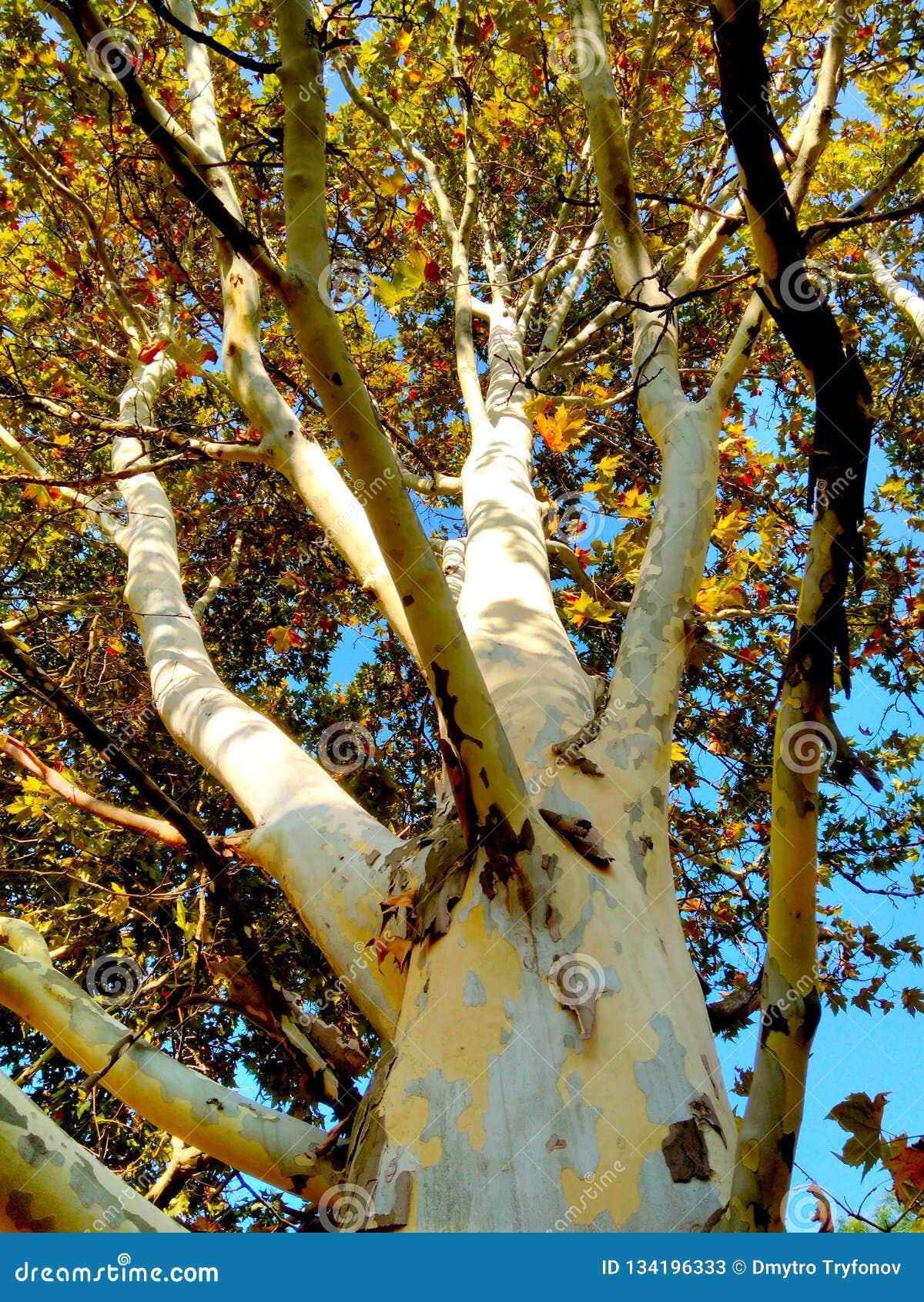 Kamuflażu drzewo, barwiąca barkentyna, jesieni natura