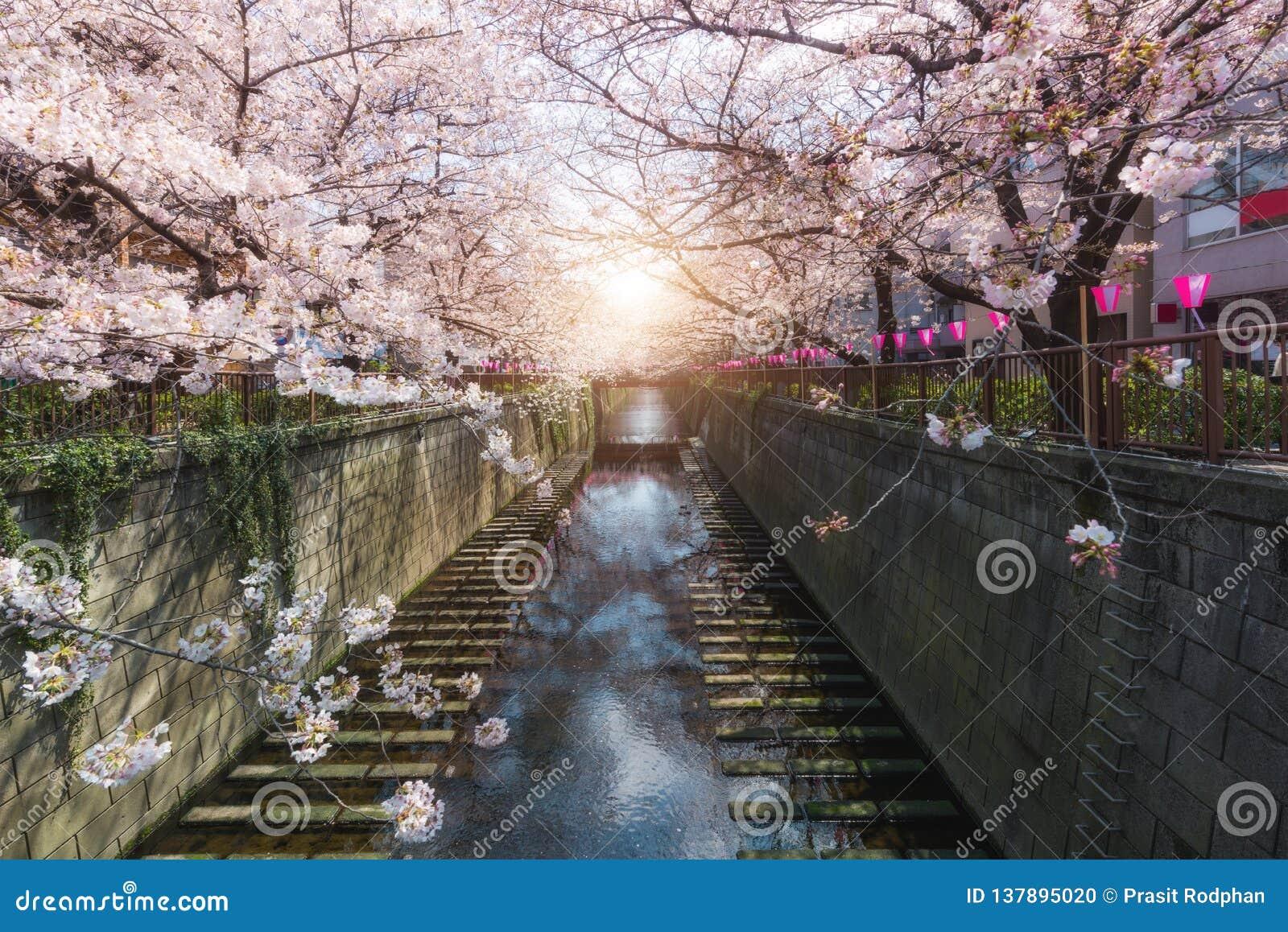 Kanaal van kersen het bloesem gevoerde Meguro in Tokyo, Japan De lente in April in Tokyo, Japan