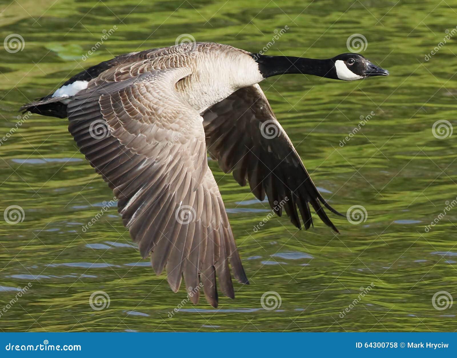 Kanada flyggås
