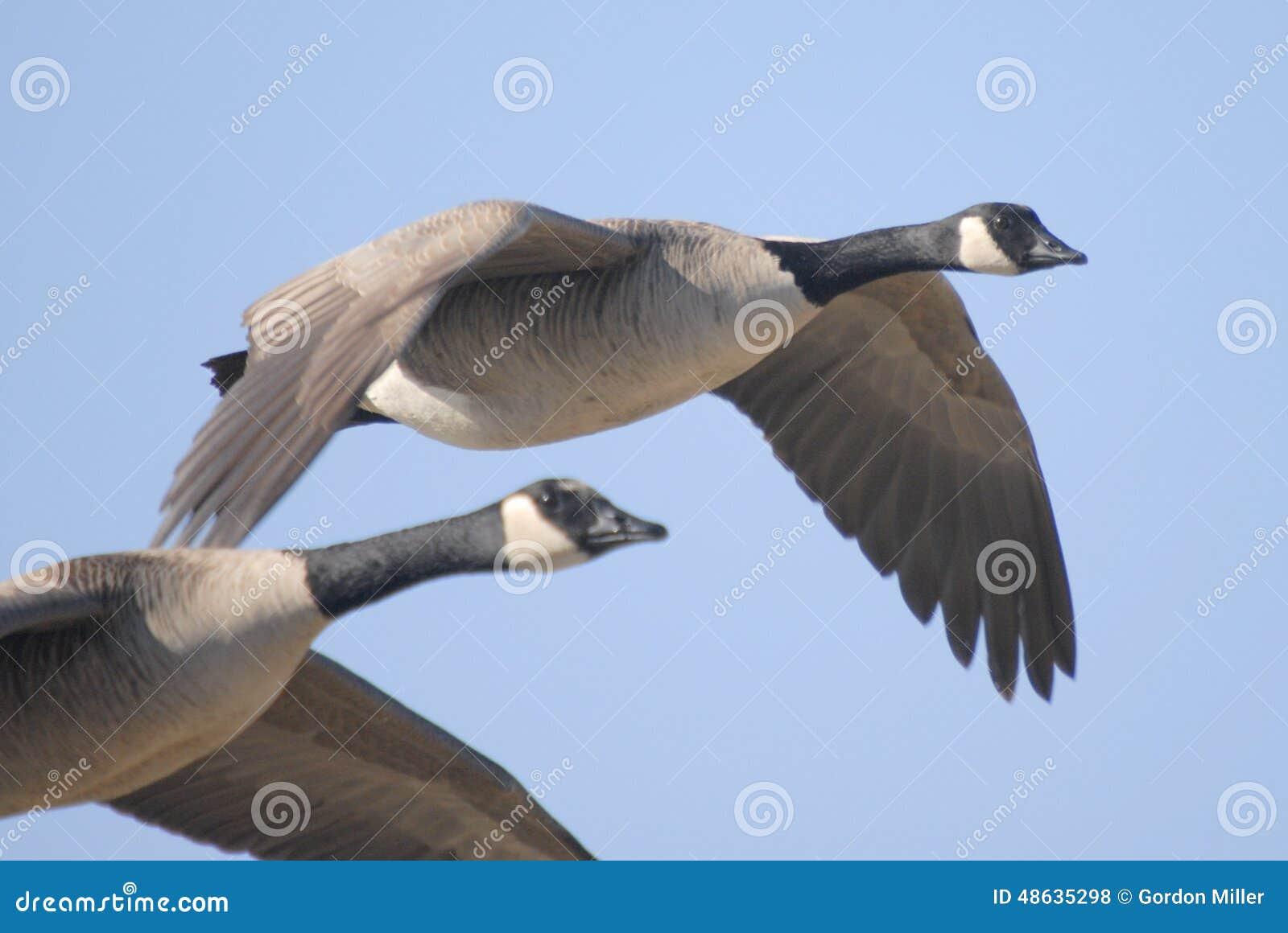 Kanada-Gänse, die über Sumpfgebiete fliegen