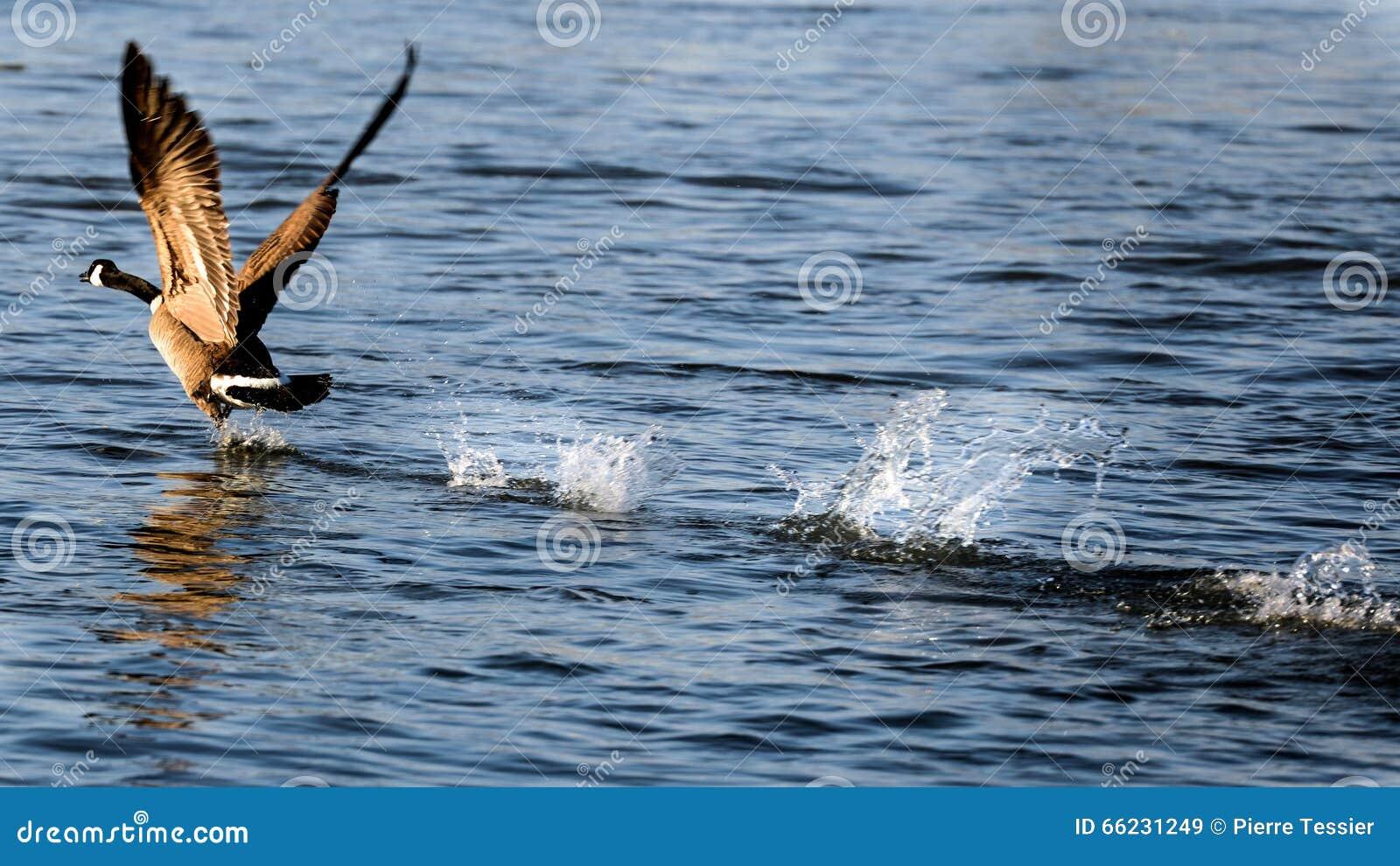 Kanada gęsi bierze lot na wodzie