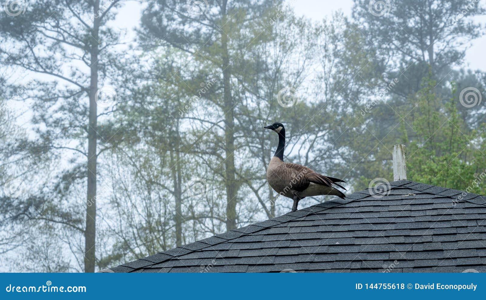 Kanada gęsia pozycja na dachu