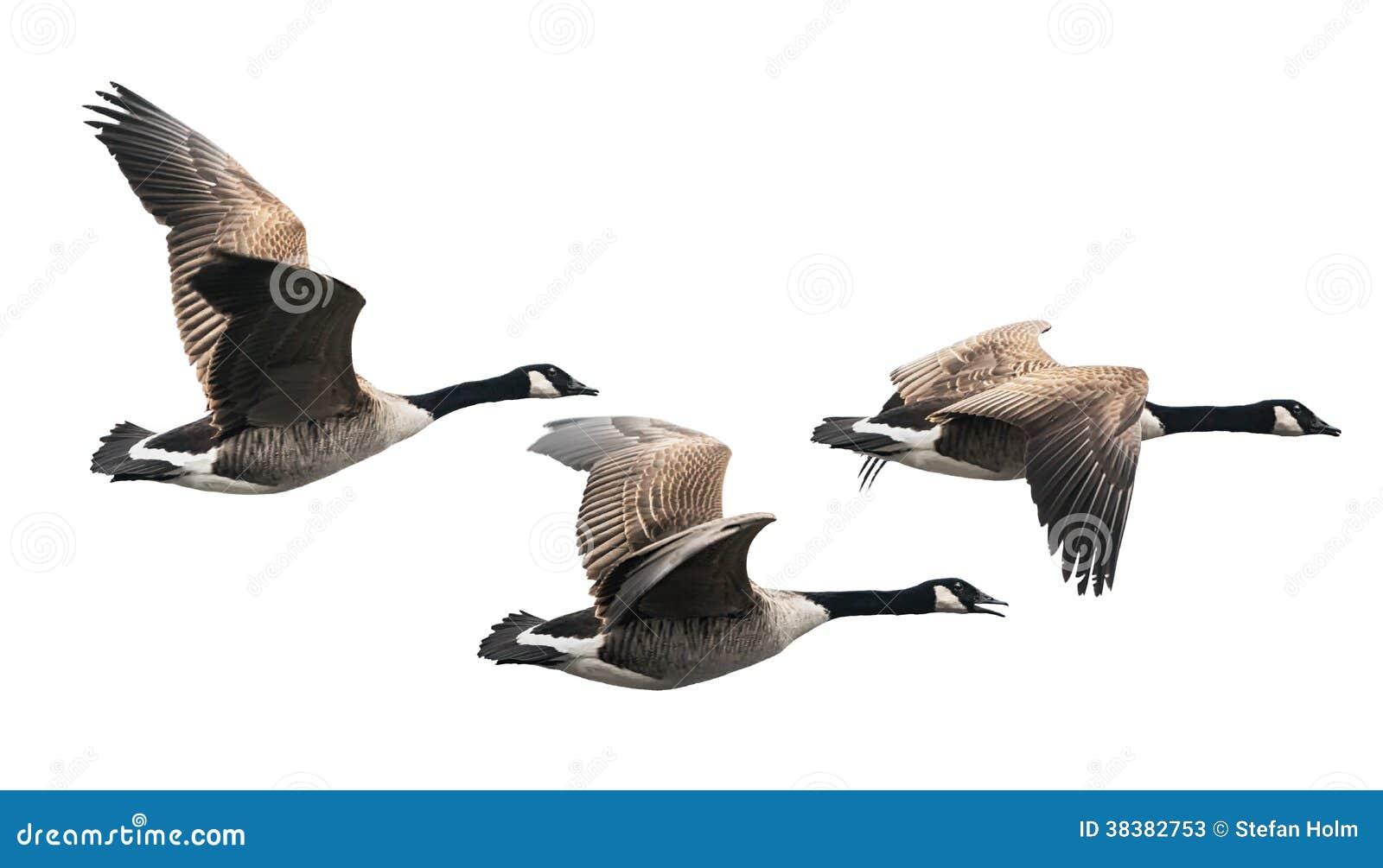 Kanada-Gansfliegen in der Gruppe