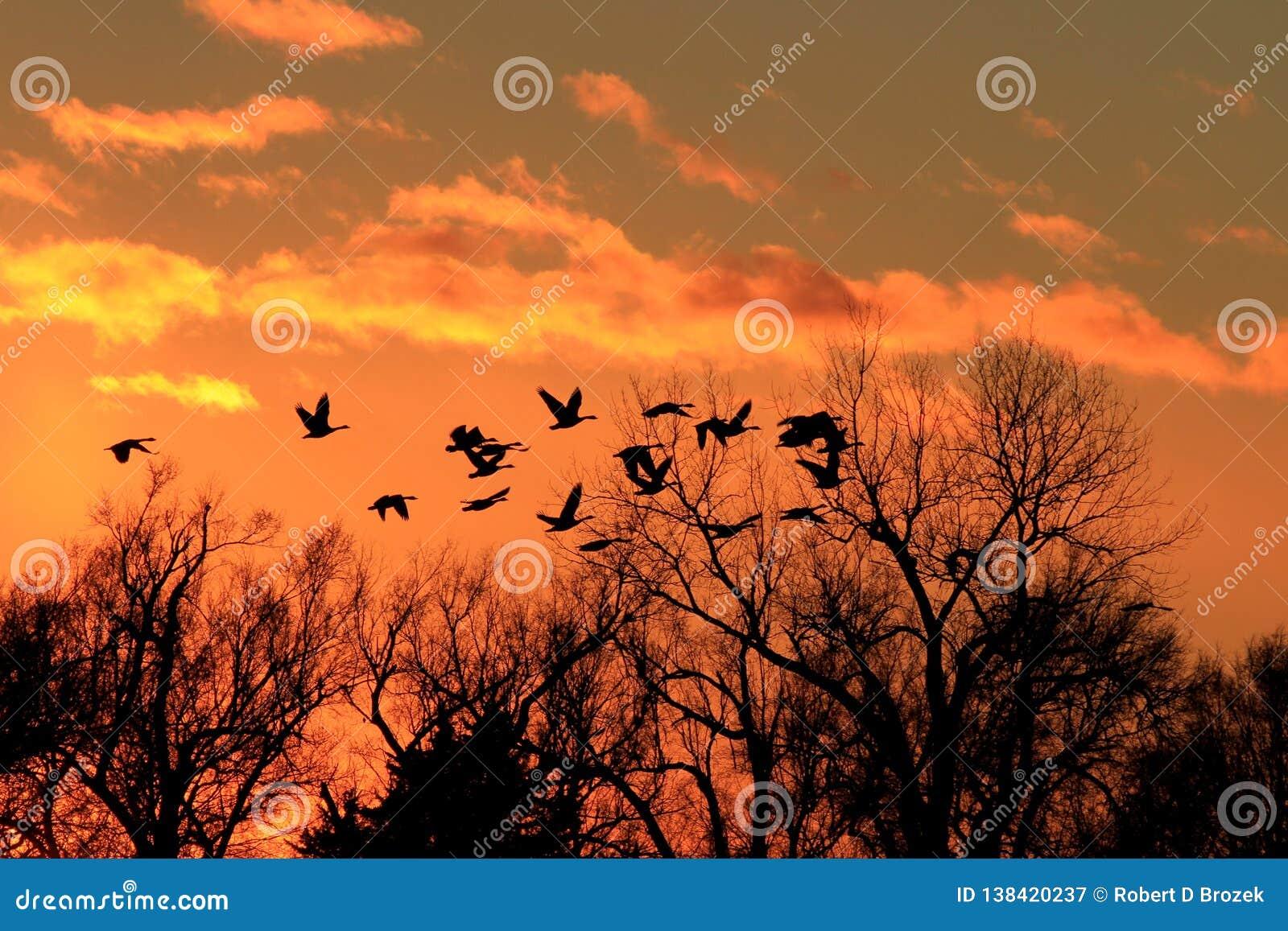 Kanadische Gänse silhouettieren mit einem bunten Sonnenuntergang