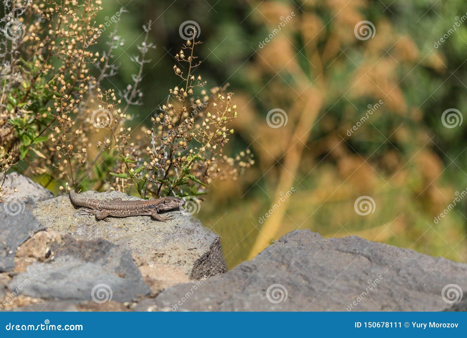 Kanarisches Reptil Tizon Azul Nationalpark Teide, Teneriffa