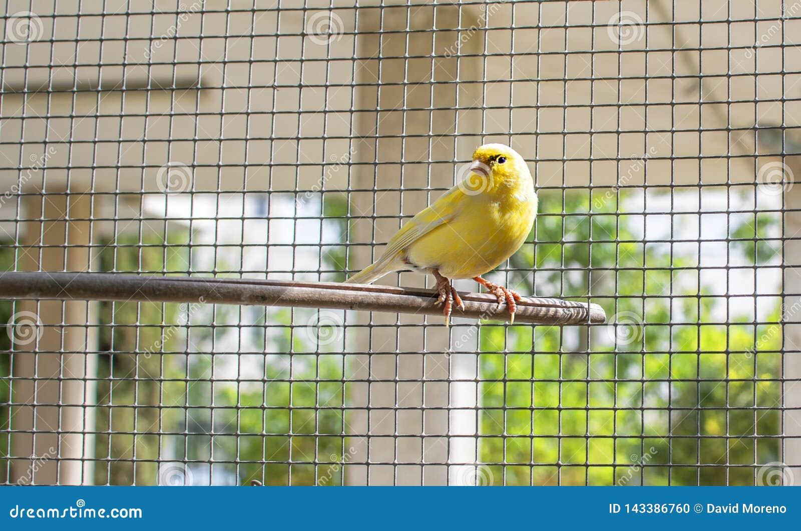 Kanarowy ptak wśrodku klatki stalowi druty umieszczał na drewnianym kiju
