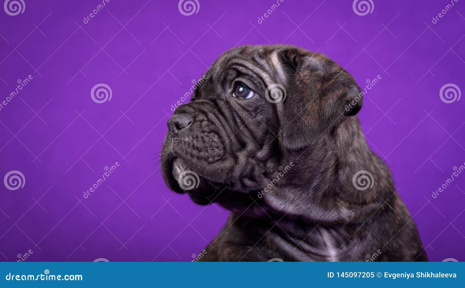 Kane Corso-puppy Portret op purpere achtergrond