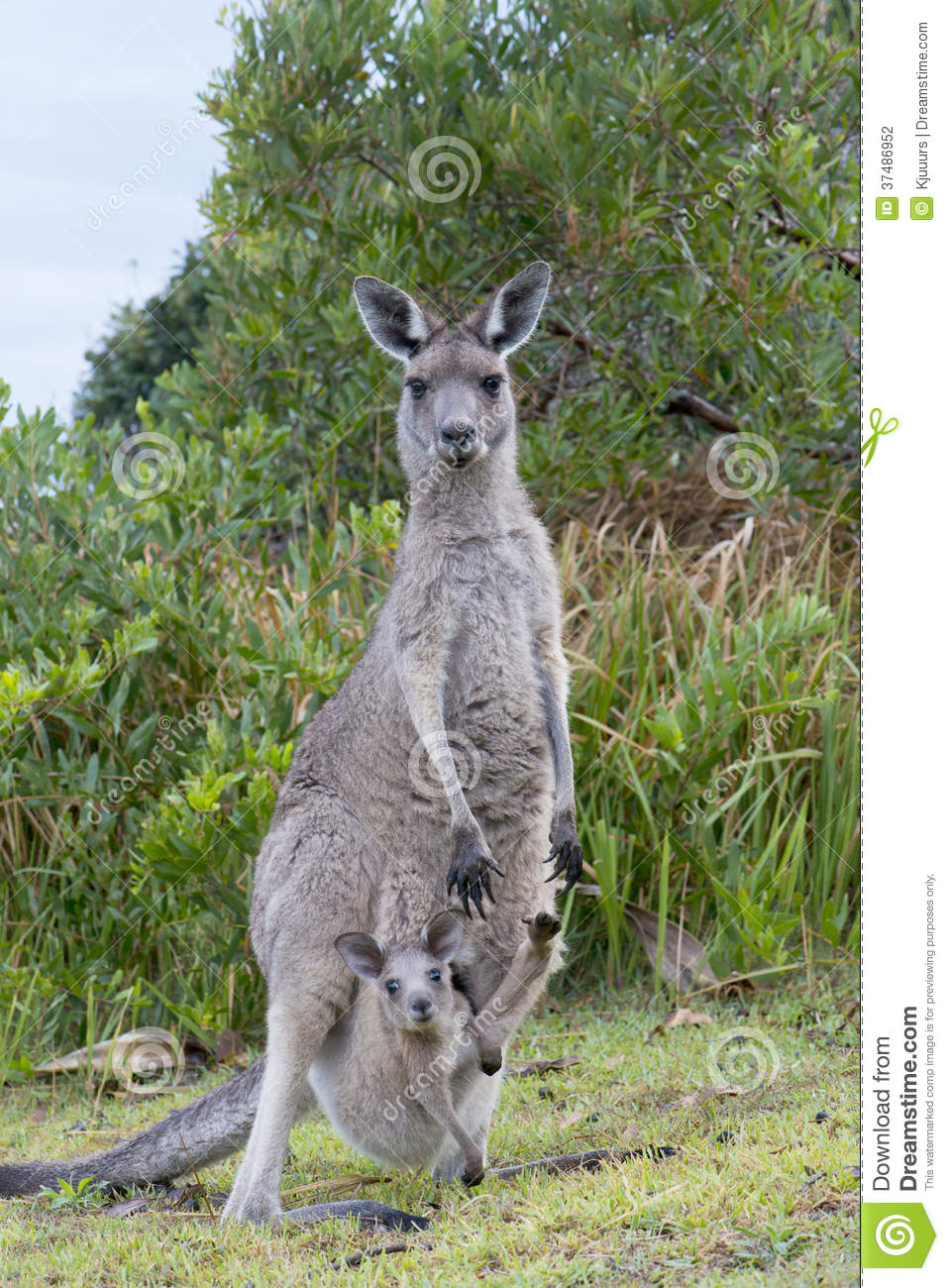 Kangaroo With a Baby Joey in Pouch