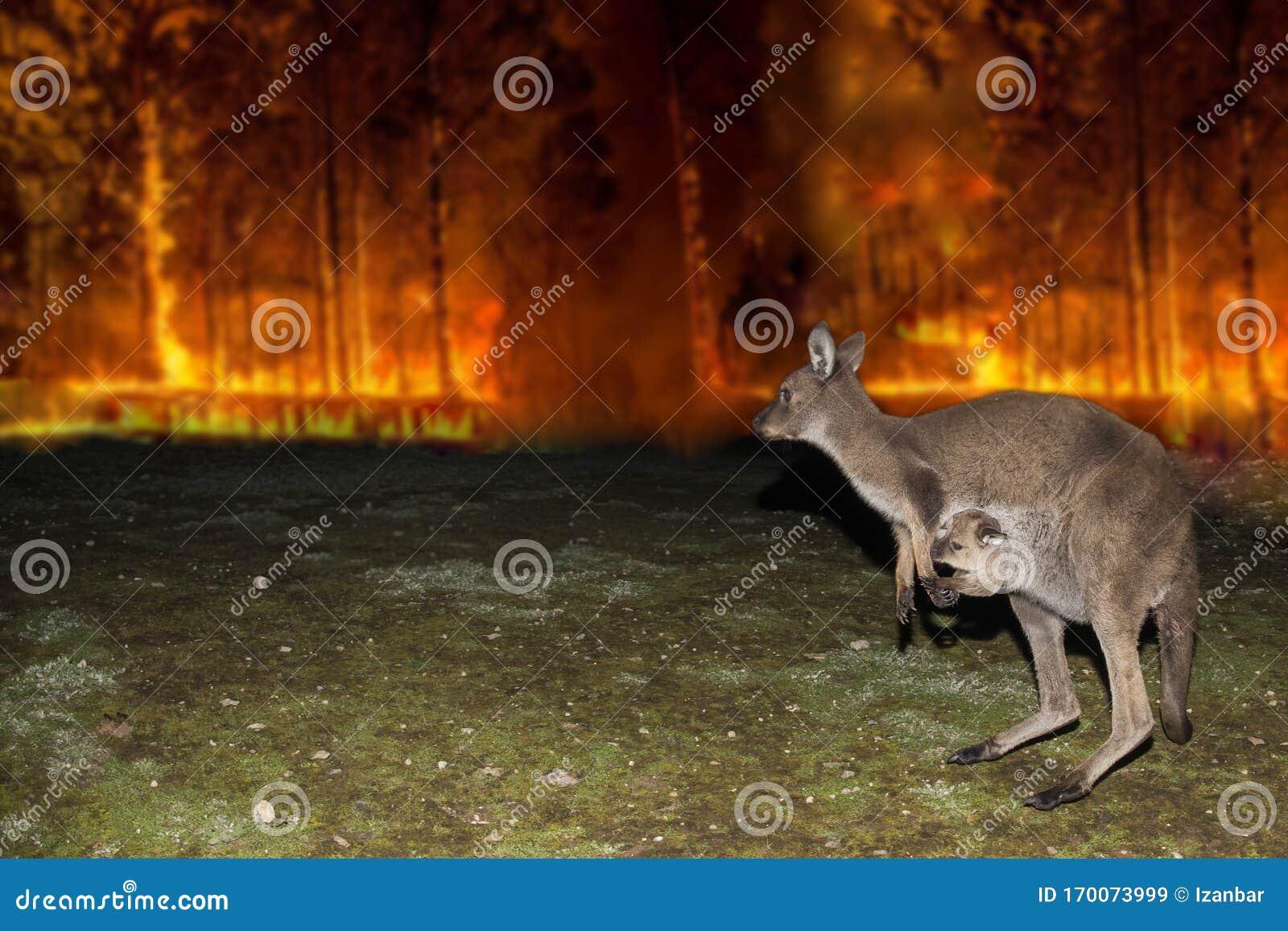 Koala In Burnt Undergrowth Royalty-Free Stock Image ...