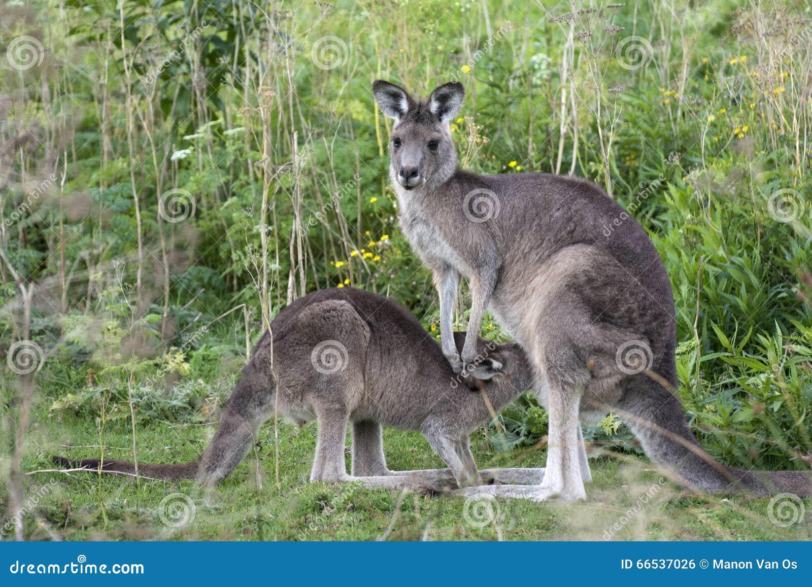 Kangaroo with little joey in Australia