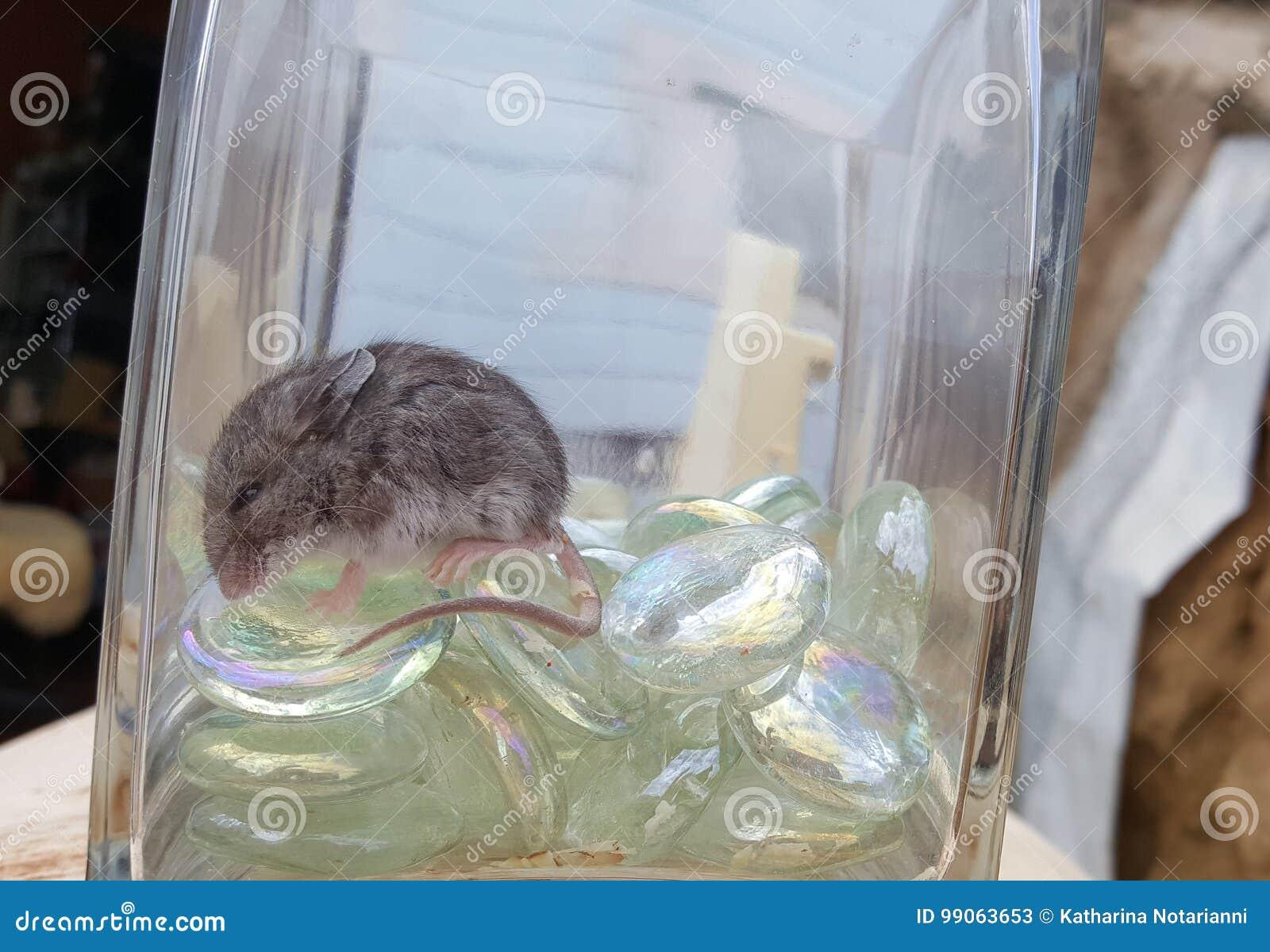 Kangaroo Rat Merriam Kangaroo Rat Dipodomys merriami Sleeping in Glass