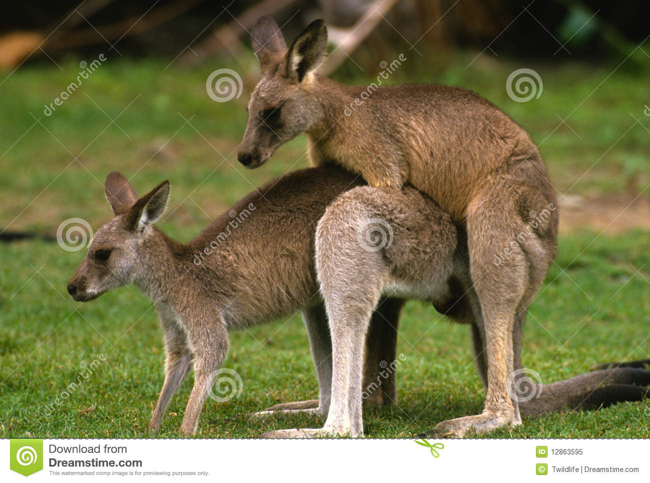 Kangaroos Mating Royalty Free Stock Photo - Image: 12863595