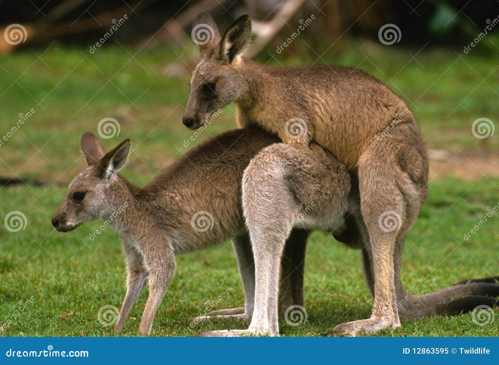 Kangaroos Mating Royalty Free Stock Photo - Image: 12863595