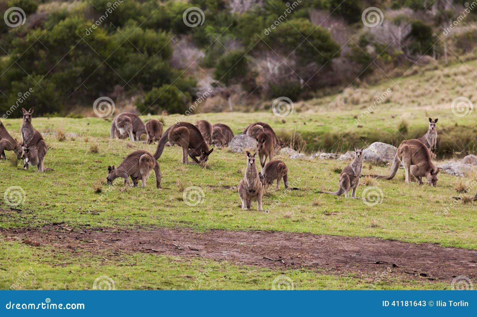 Kangaroos at sunset. Eurobodalla national park. Australia