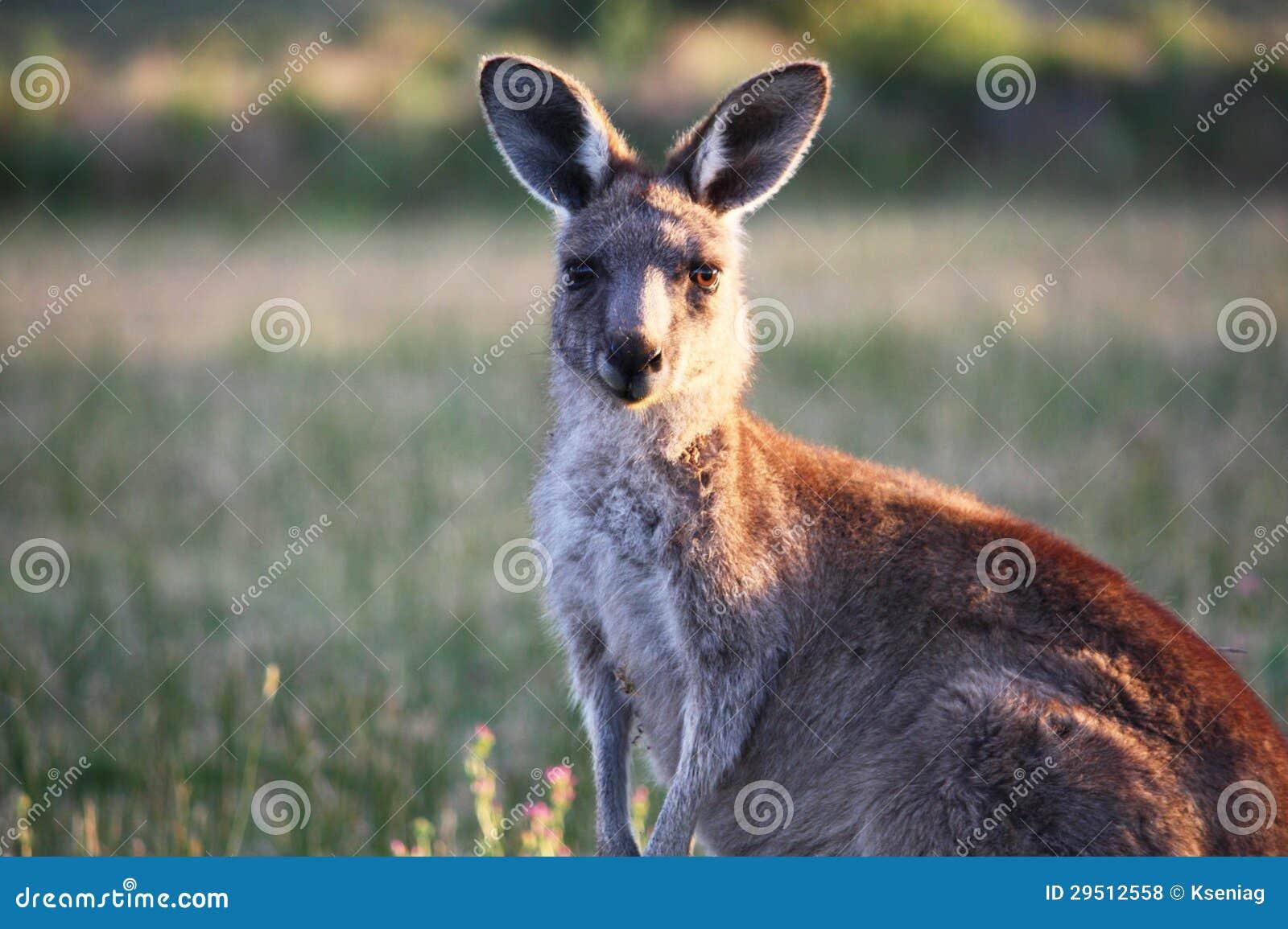 Kangoeroe in Australië.