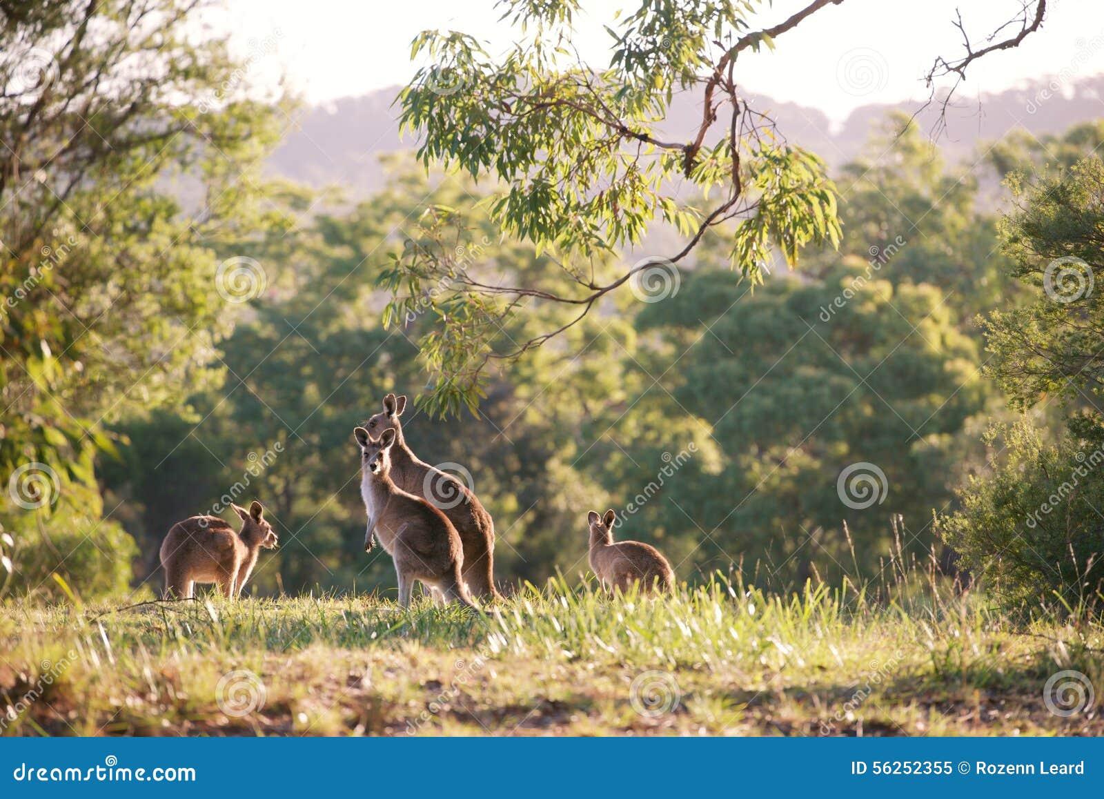 Kangoeroe menigte