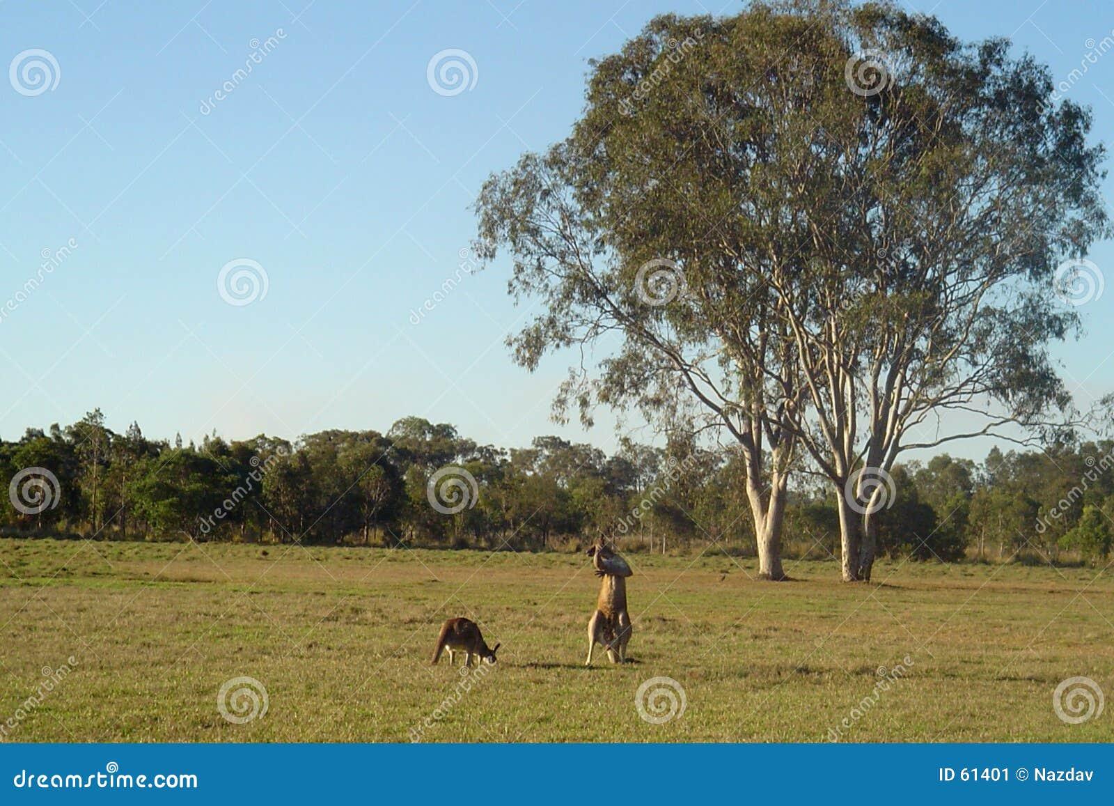Kangoeroes en Gumtrees