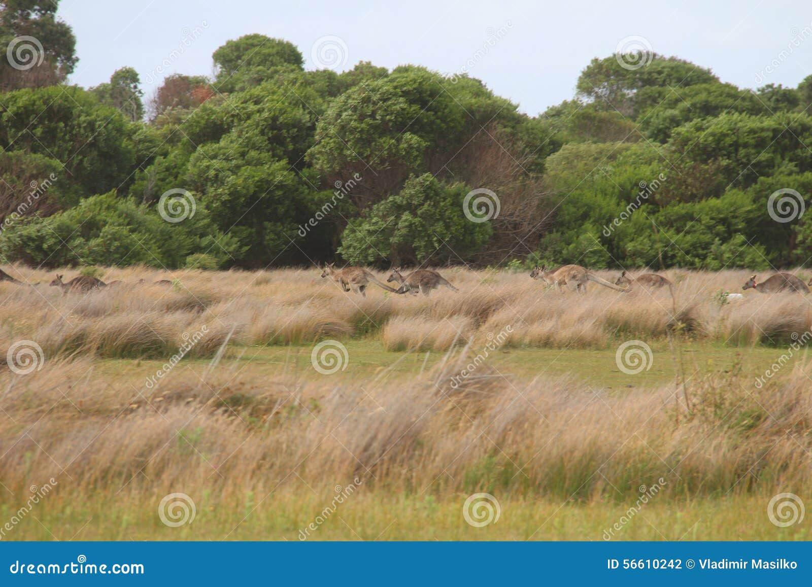 Kangoeroes in Weiden
