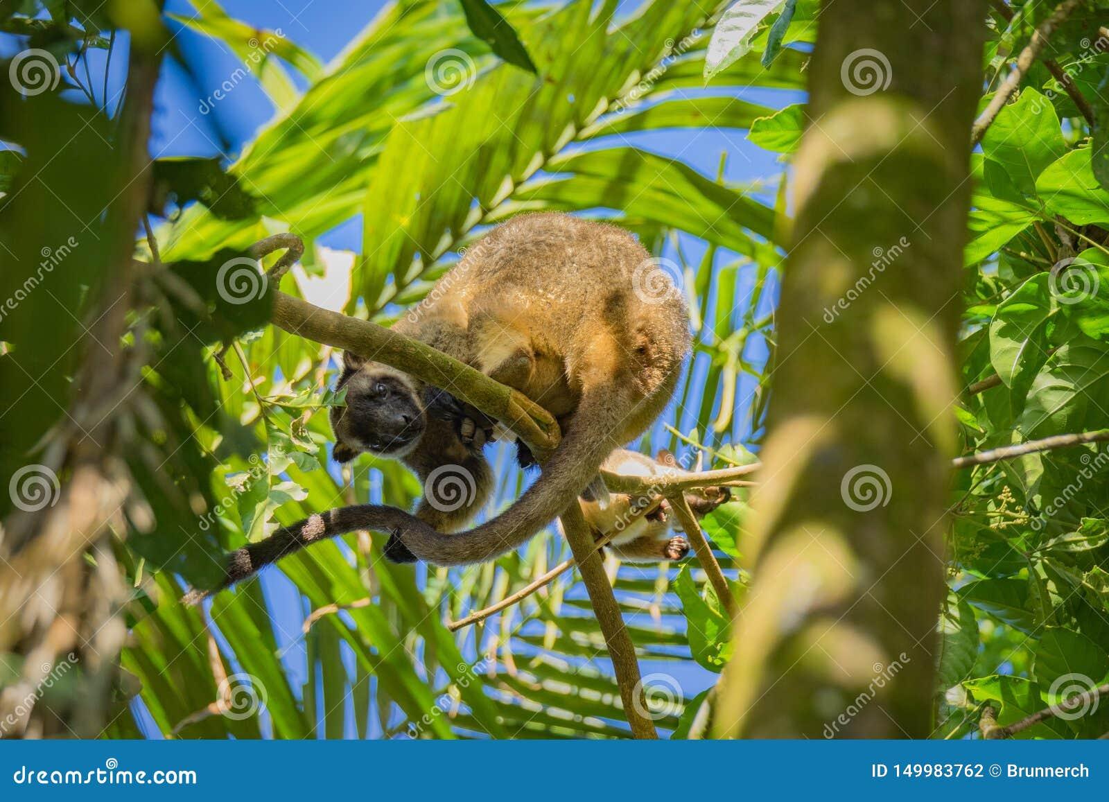 Kangourou d arbre de Bennetts
