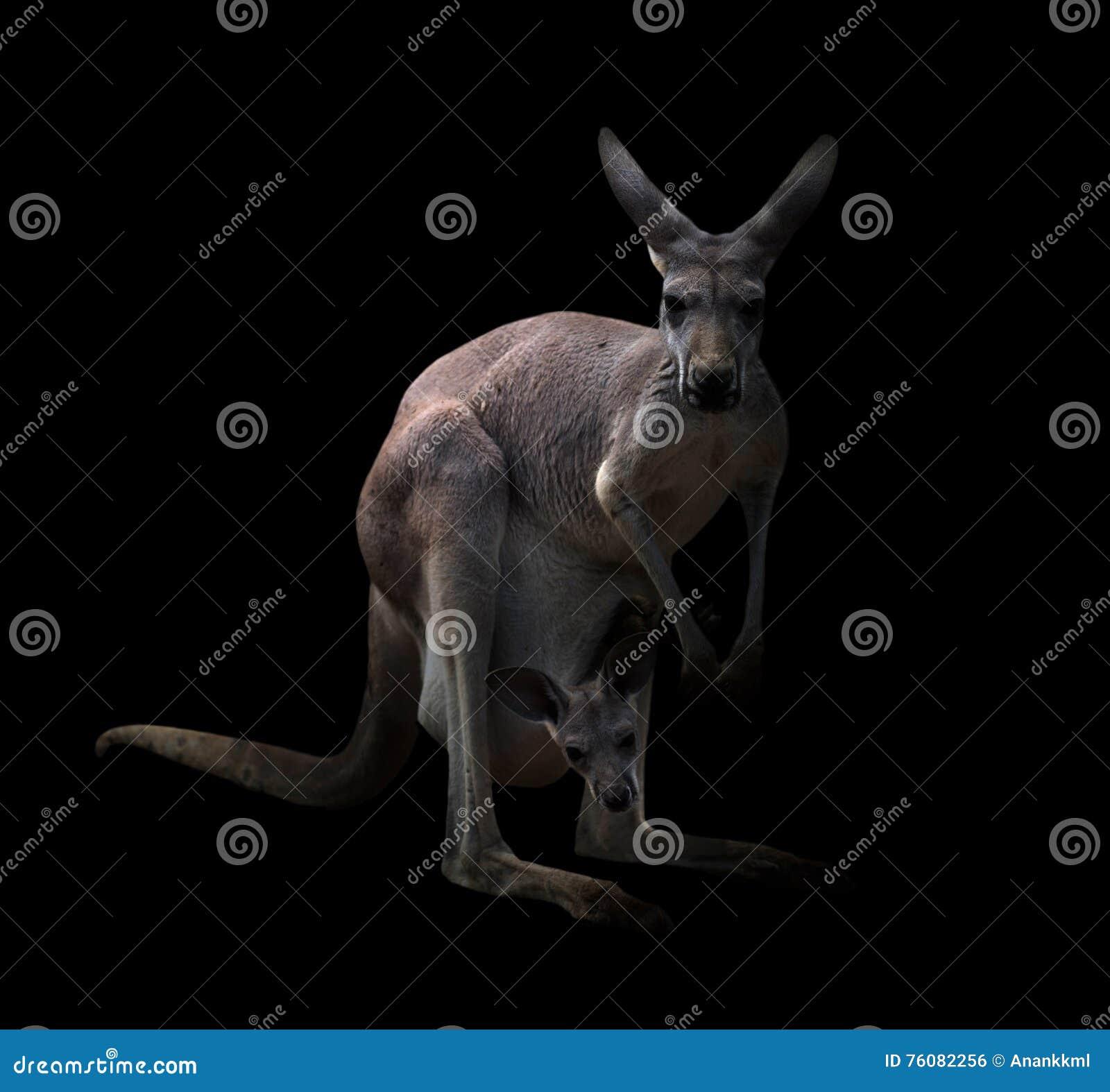 Kangourou dans l obscurité