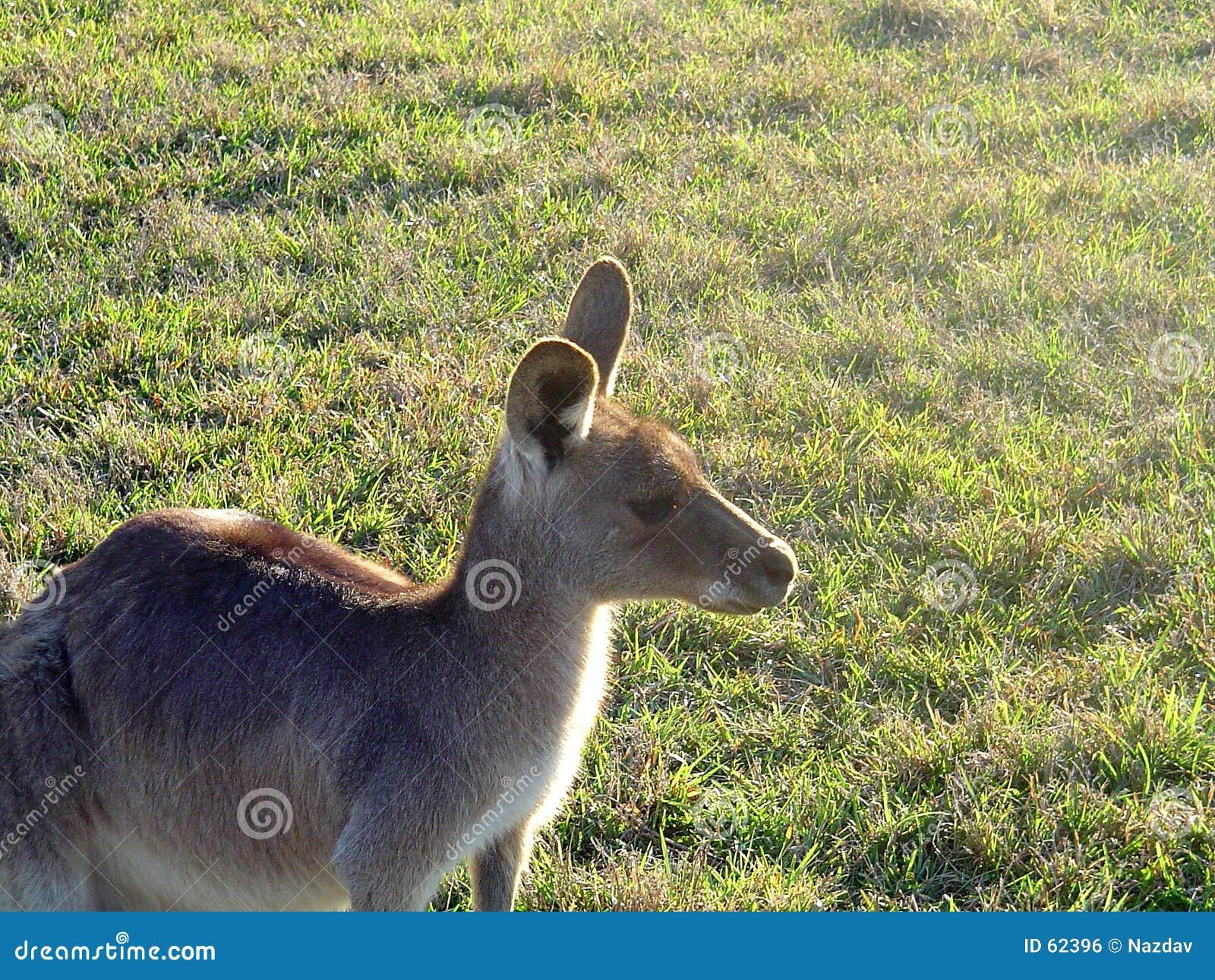 Kangourou dans le domaine