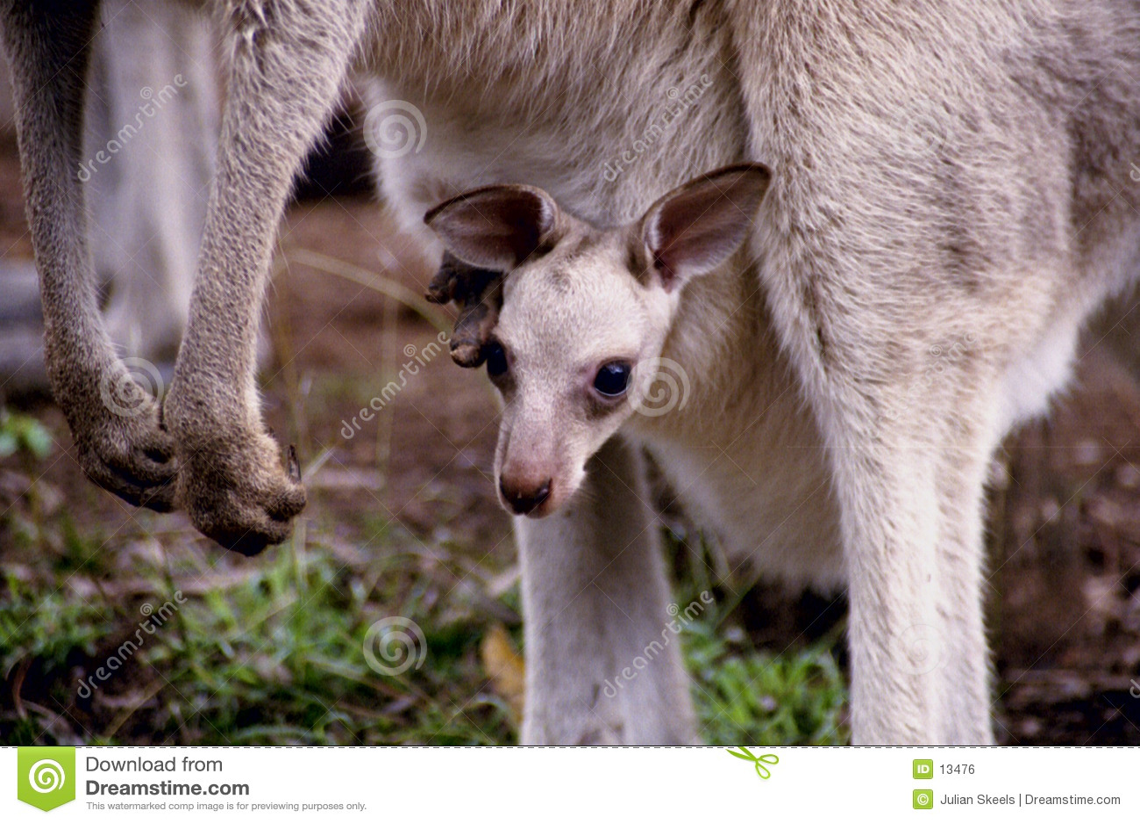 Kangourou de chéri