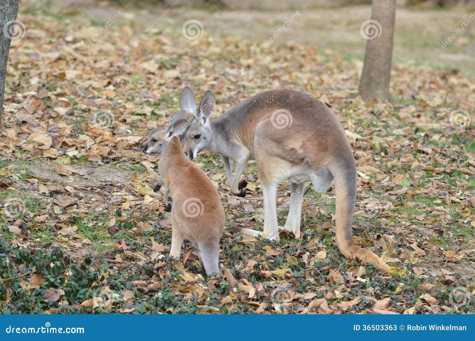 Kangourou de mère et de bébé