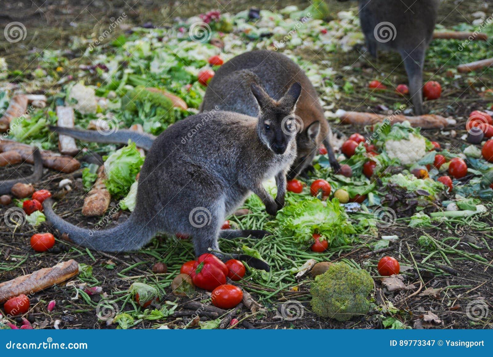 Kangourou mangeant des légumes