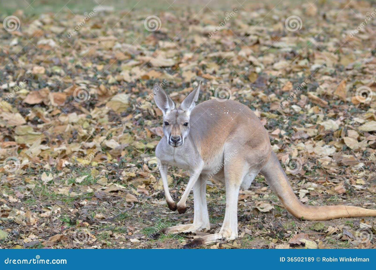 Kangourou rouge parmi les feuilles
