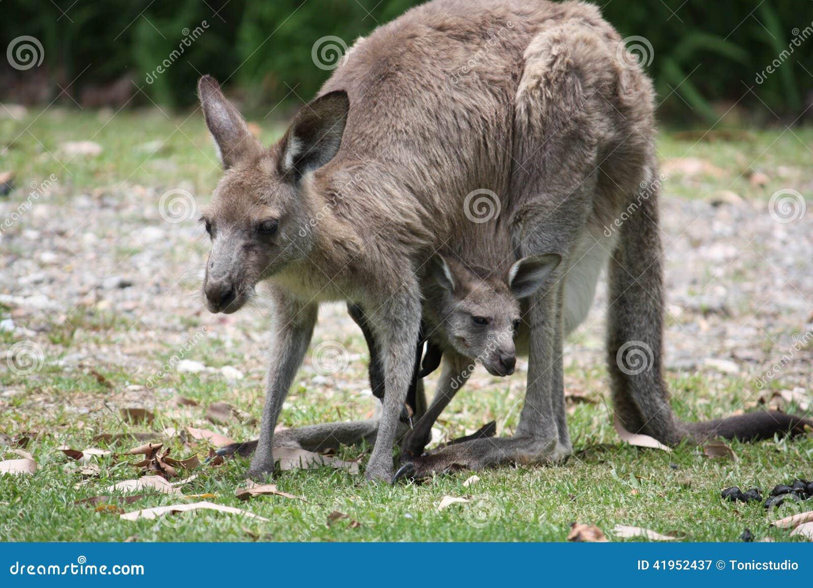 Kangura joey