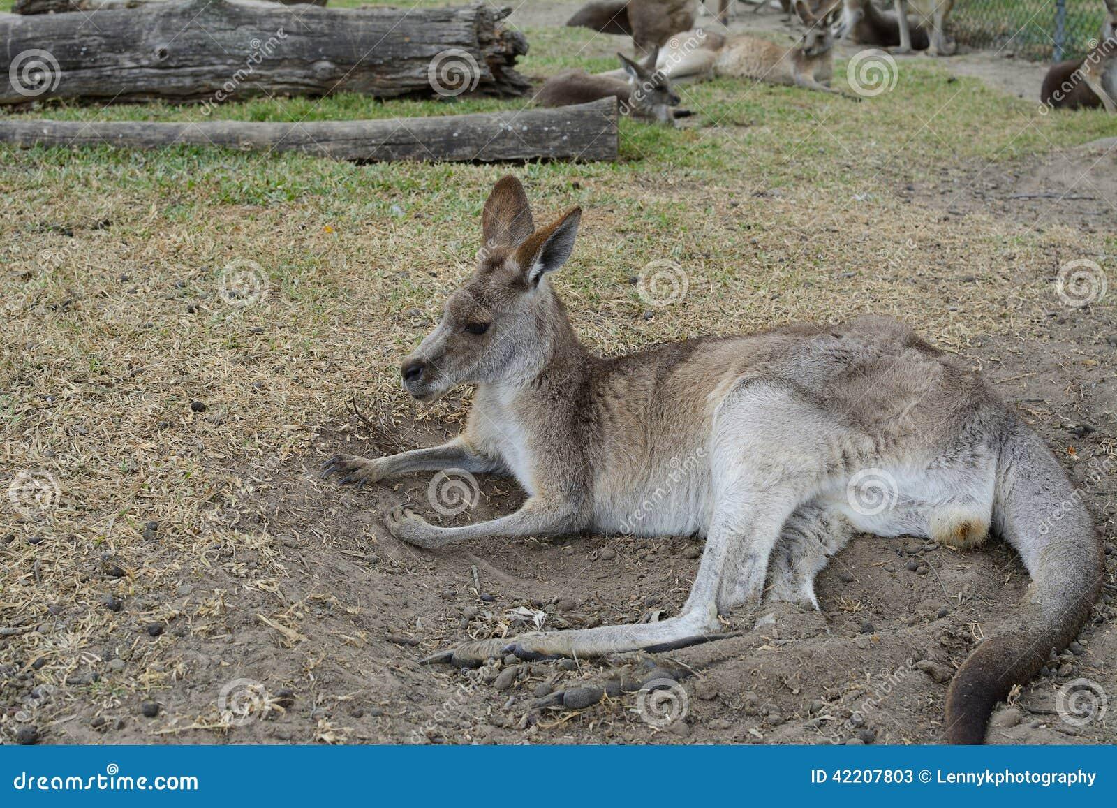 Kangura relaksować