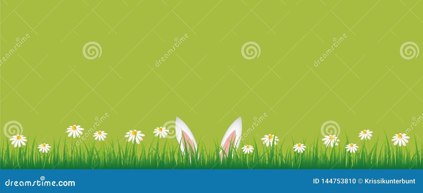 Kaninöron i grön äng med banret för blommor för vit tusensköna det gröna med kopieringsutrymme