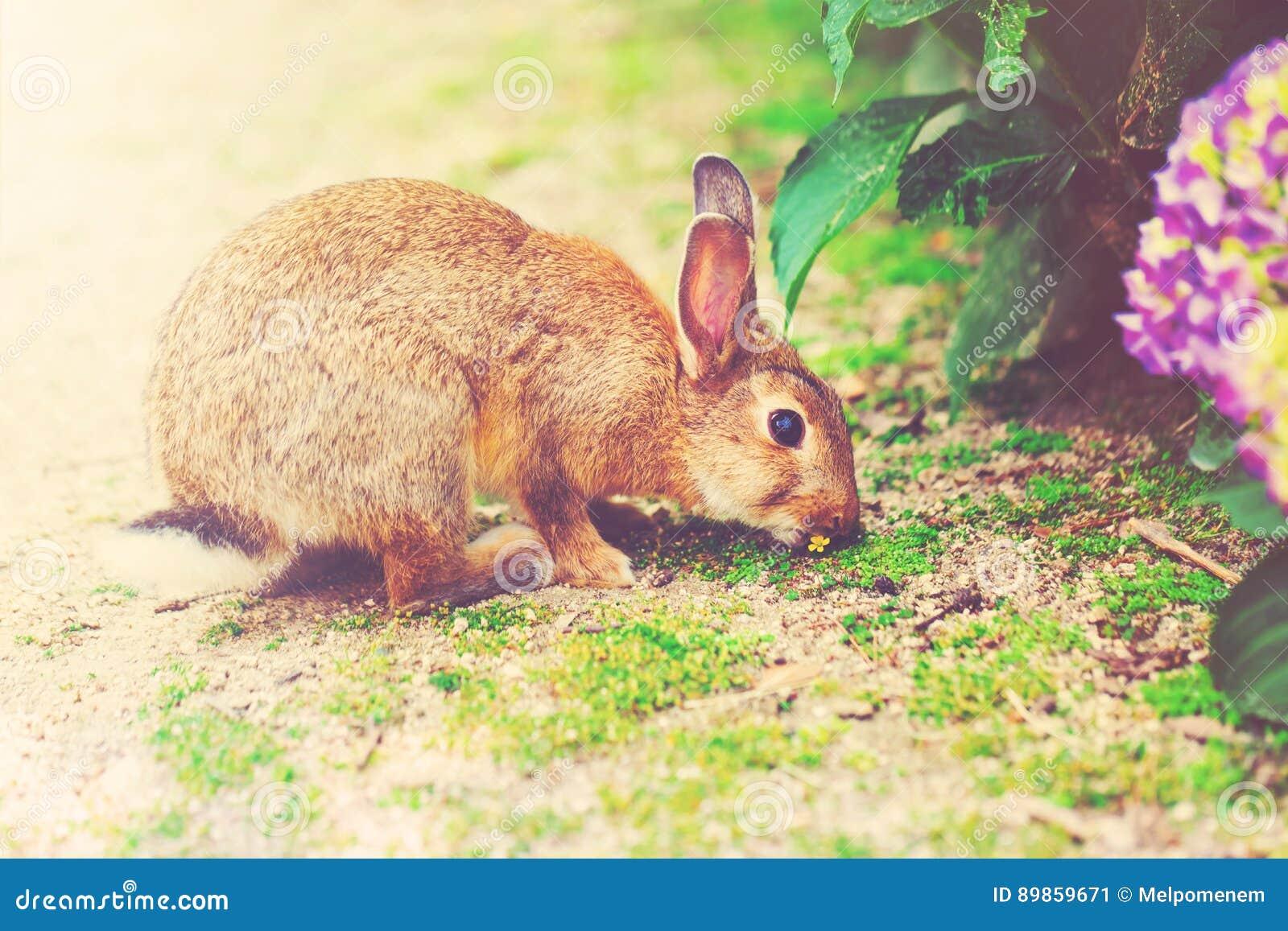 jag är en vanlig kanin
