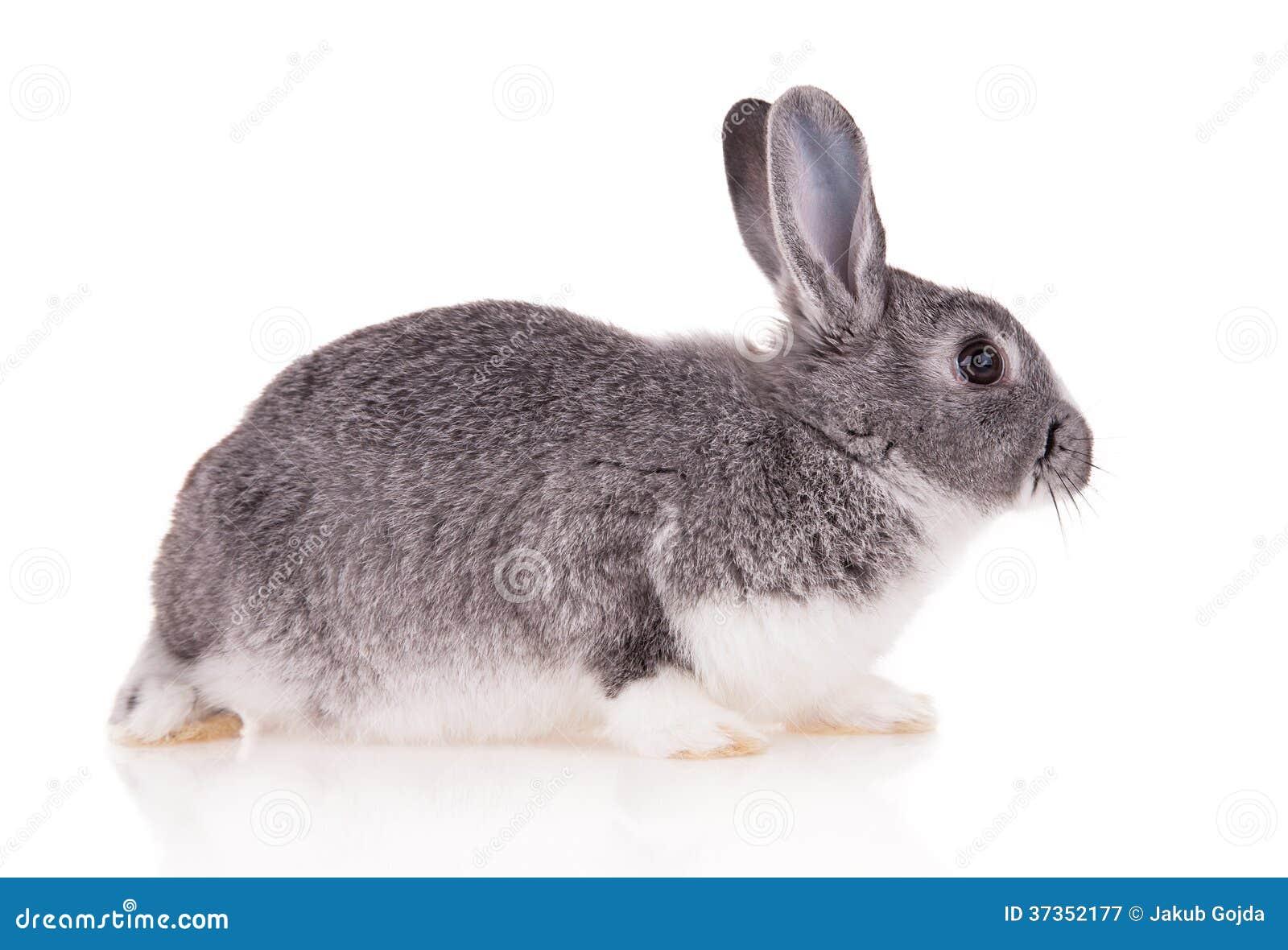Kanin på vit bakgrund
