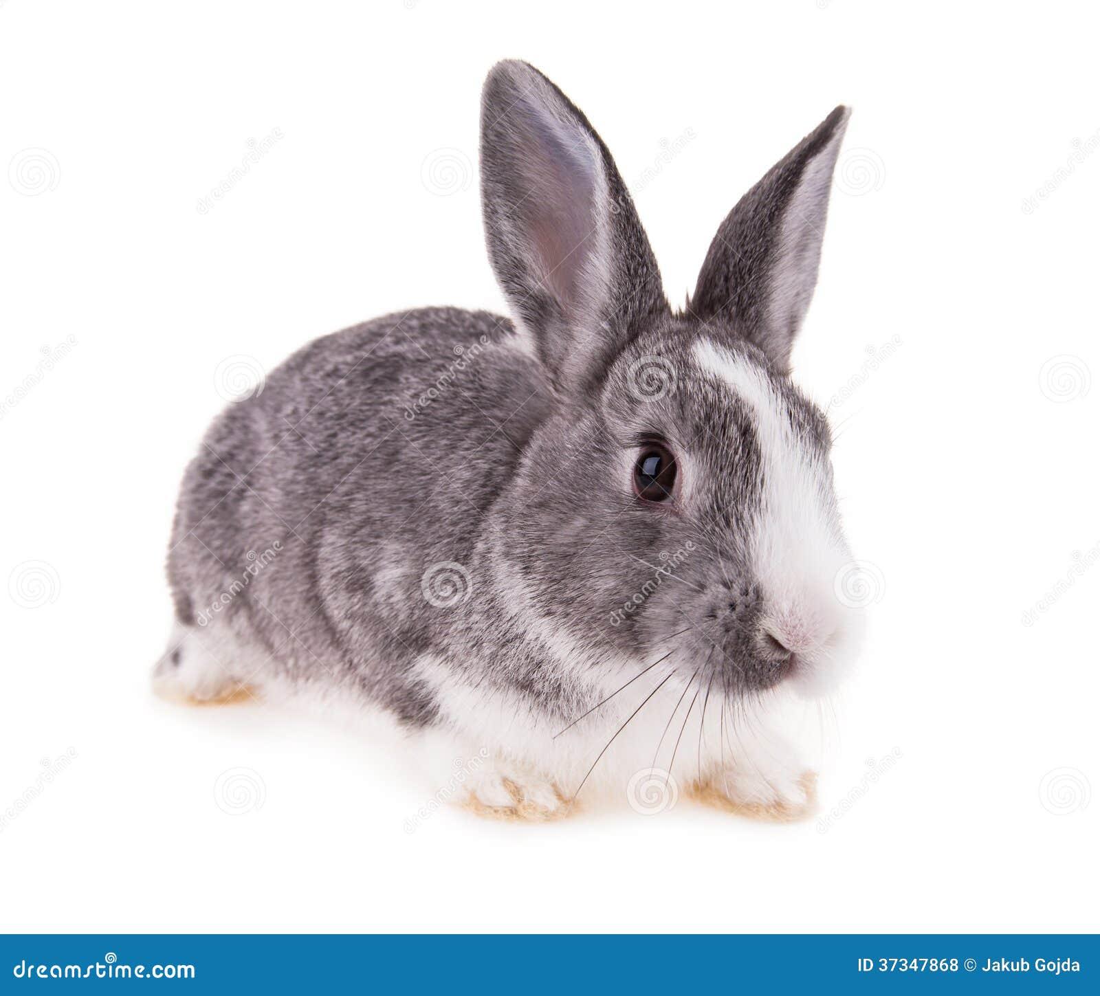 Kaninchen auf weißem Hintergrund