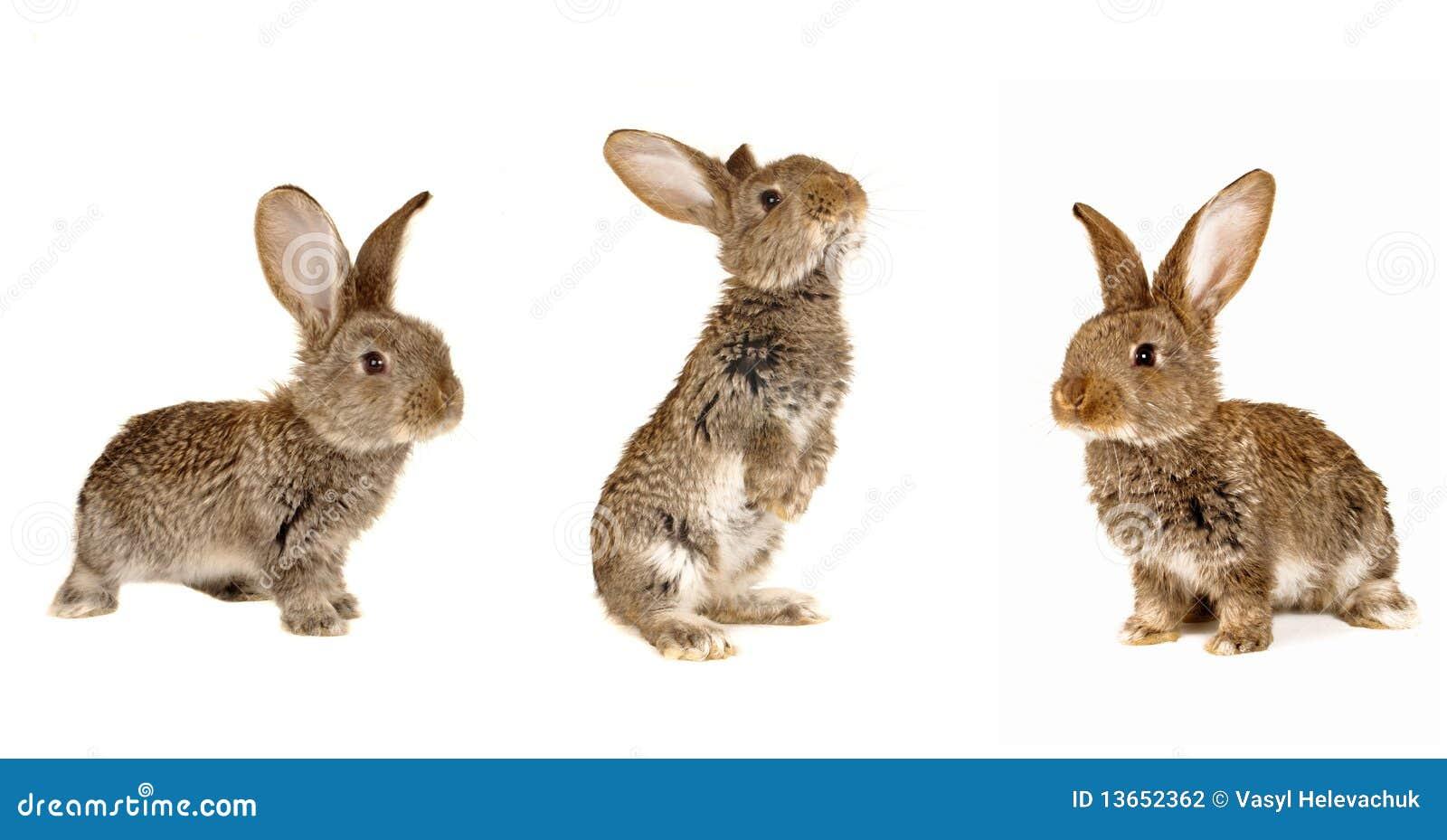 Kaninchen mit drei Graun