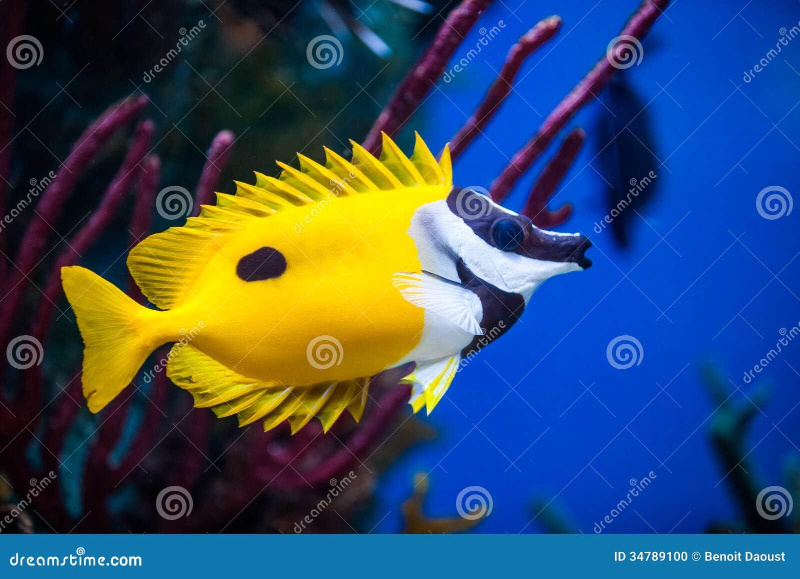 Kaninchenfische nahaufnahme onespot foxface in einem for Salzwasser aquarium fische