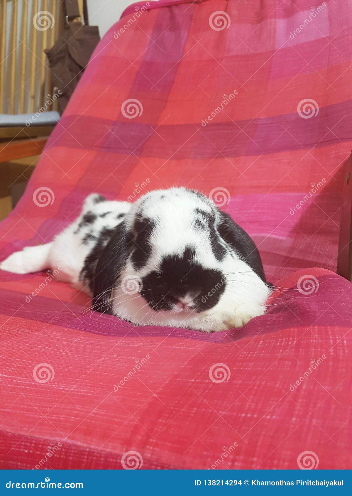 Kaninchenhäschen Holland stutzen