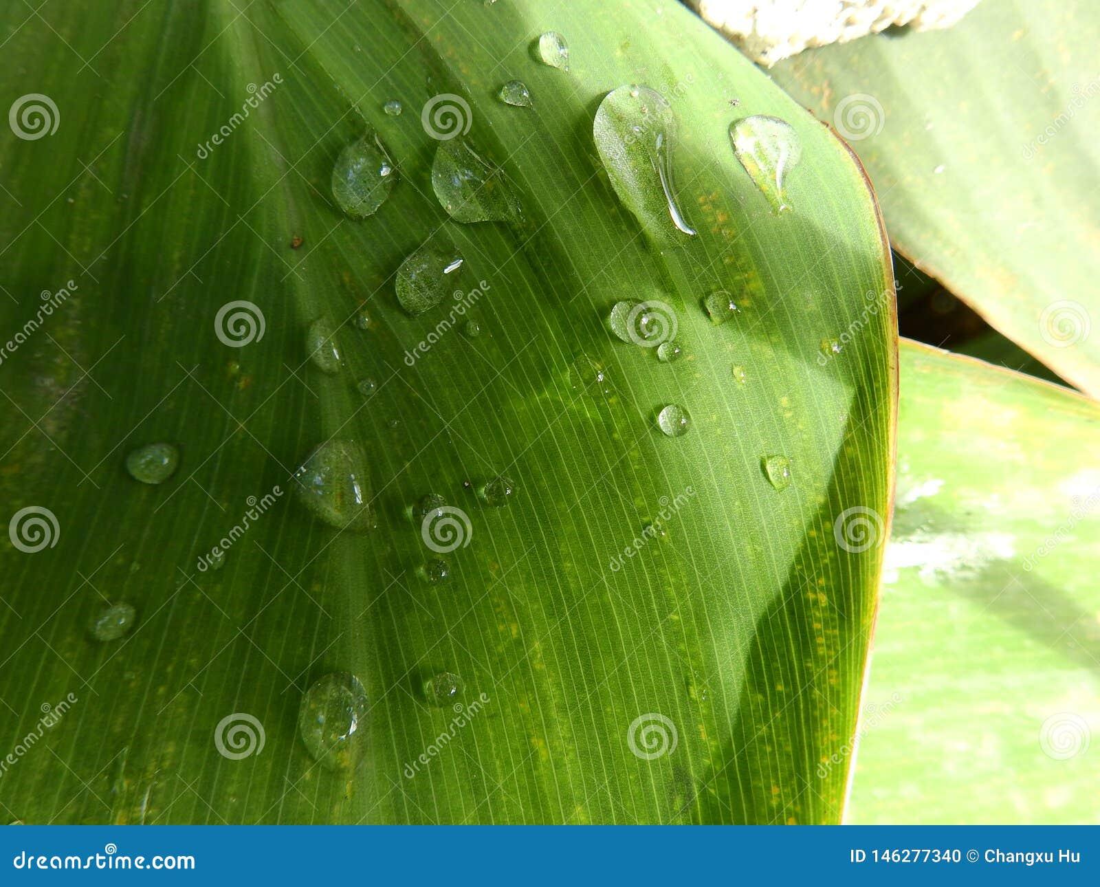 Kanna liścia wody Dropsï ¼ Œgreen liścia rosy roślina