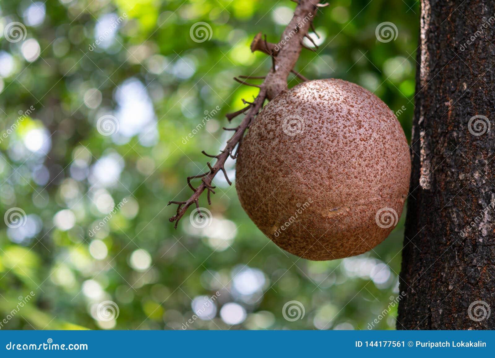Kanonskogelfruit
